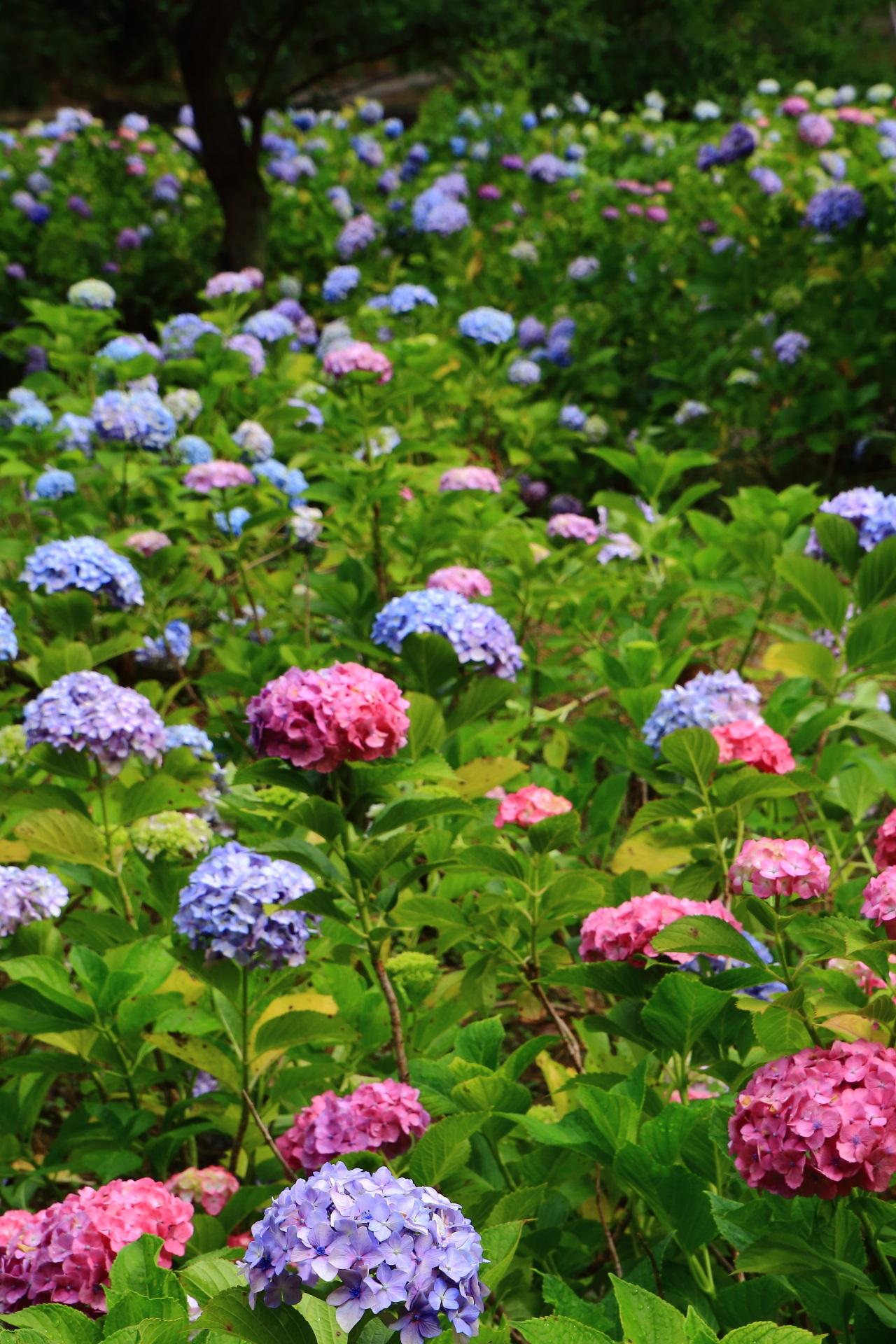 色とりどりの紫陽花につつまれた智積院(ちしゃくいん)