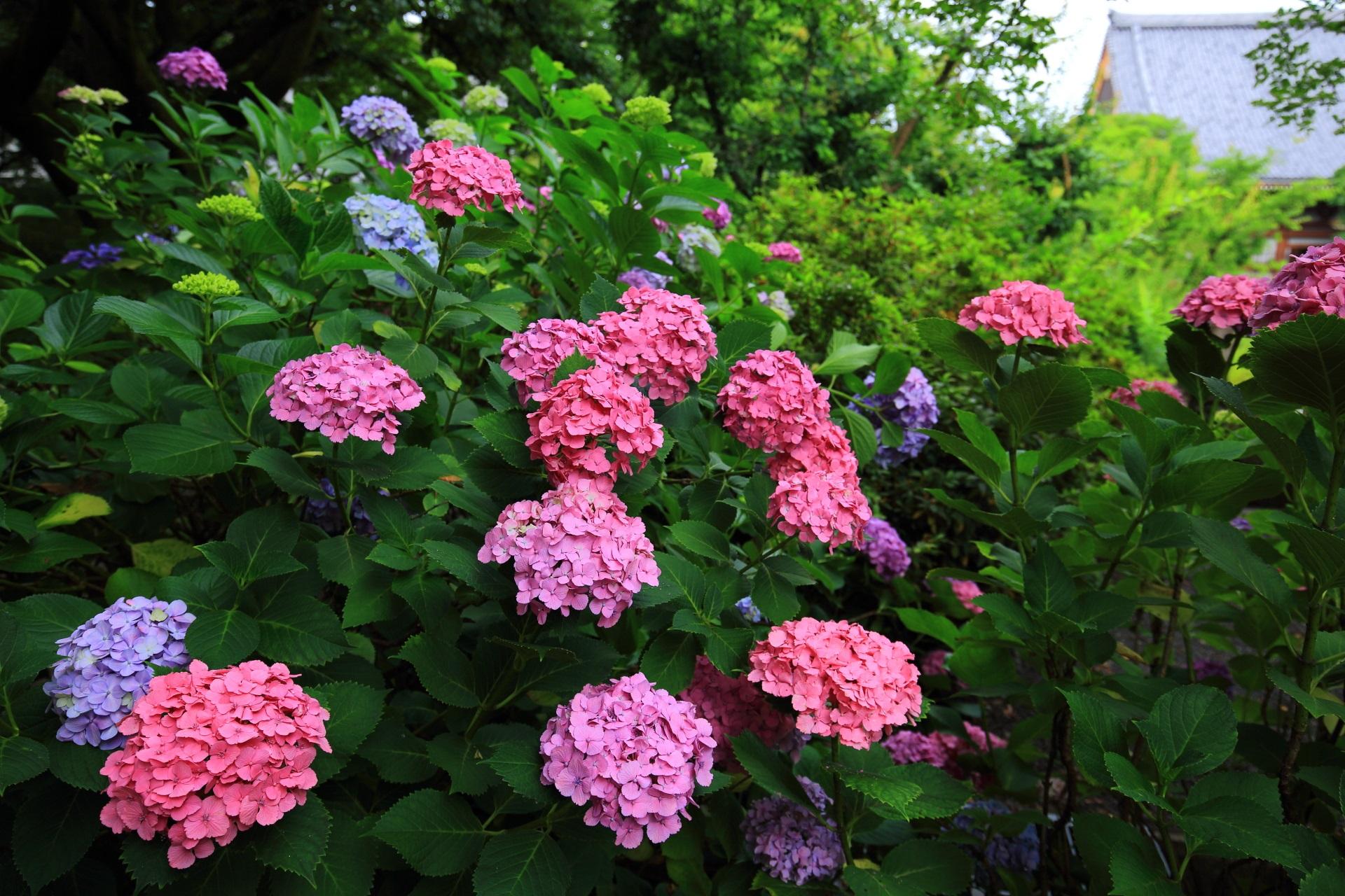 智積院の境内東の墓地周辺の紫陽花