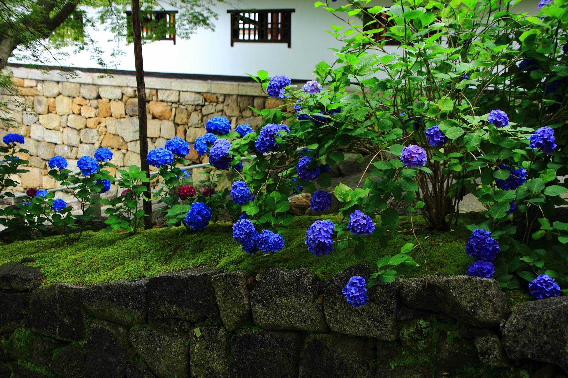 風情ある白塗りの壁に映える青い紫陽花