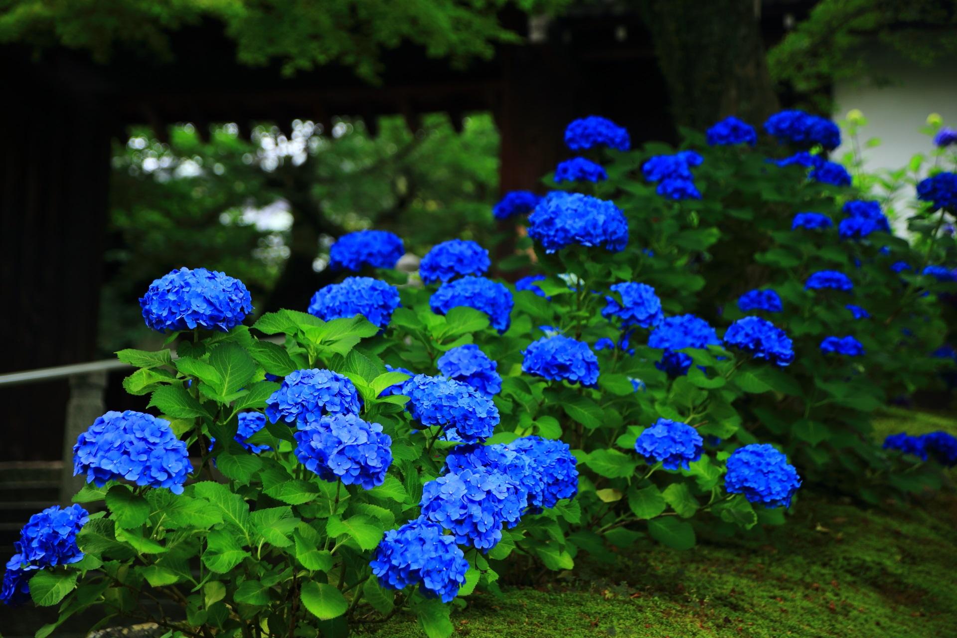 しっとりしているように見える知恩院の濃いブルーの紫陽花