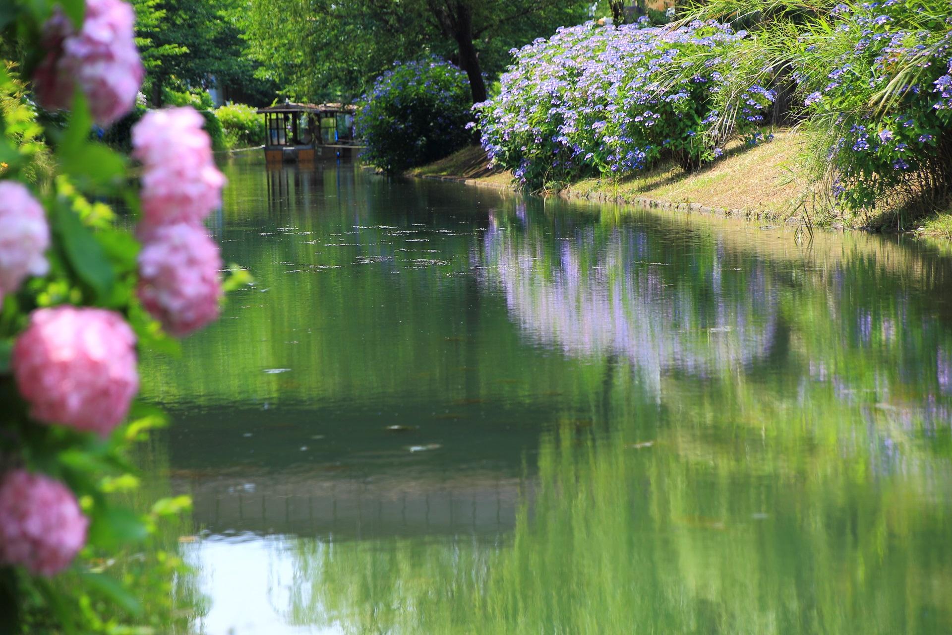 奥には屋形船の十石舟が見える長閑で華やかな紫陽花の咲く初夏の宇治川派流