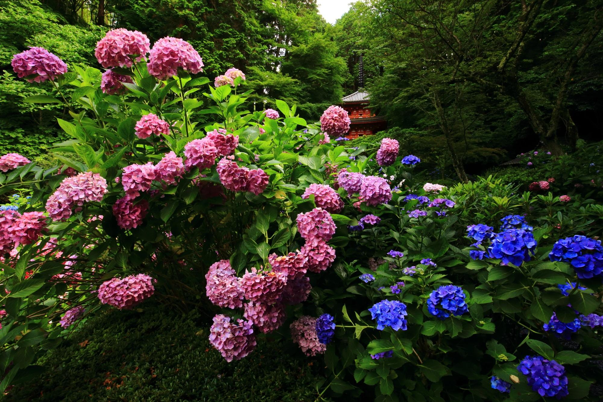 岩船寺 紫陽花 山城の鮮やかな絵になるあじさい