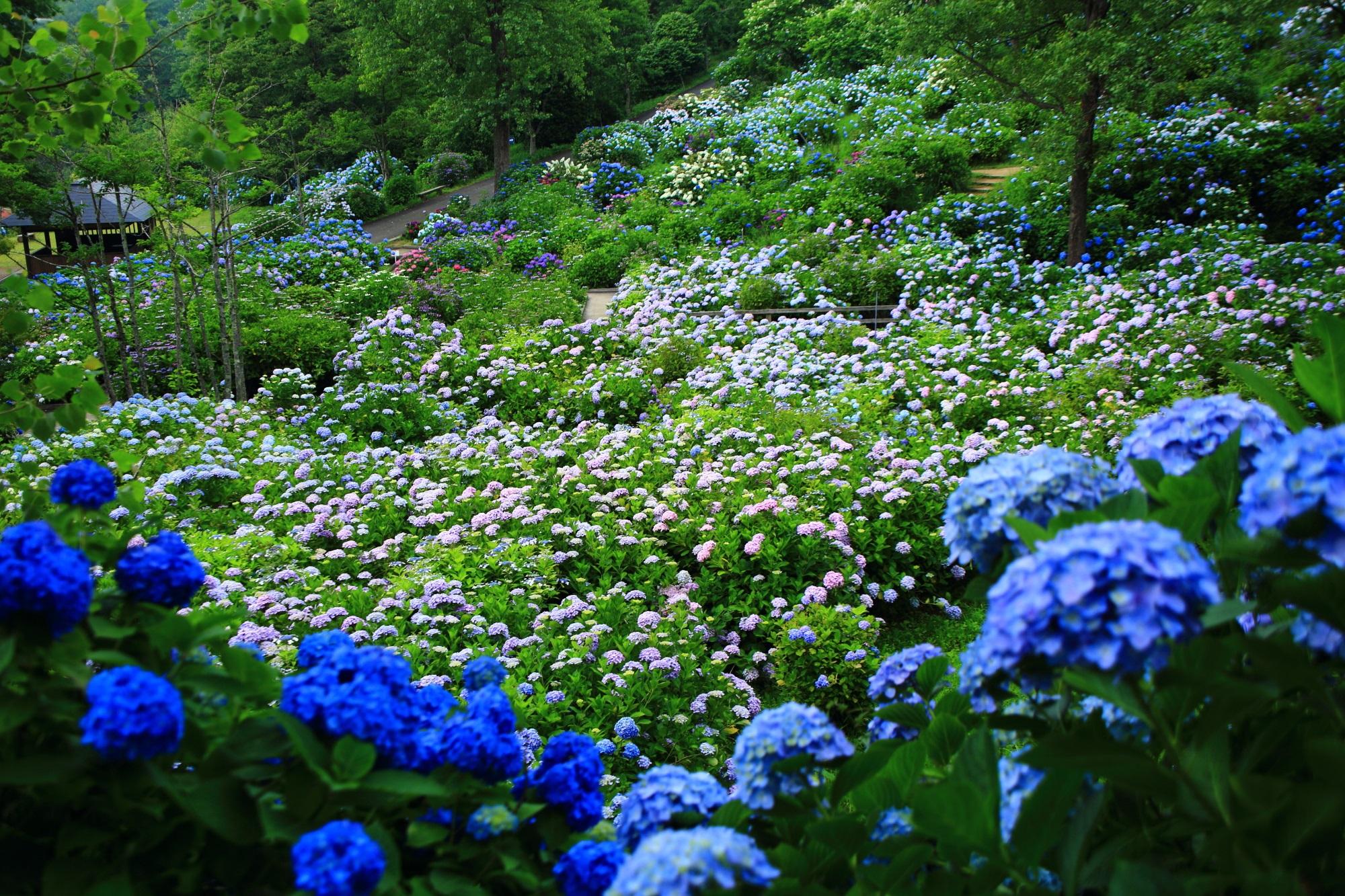 舞鶴自然文化園 紫陽花 凄すぎる「あじさいの海」
