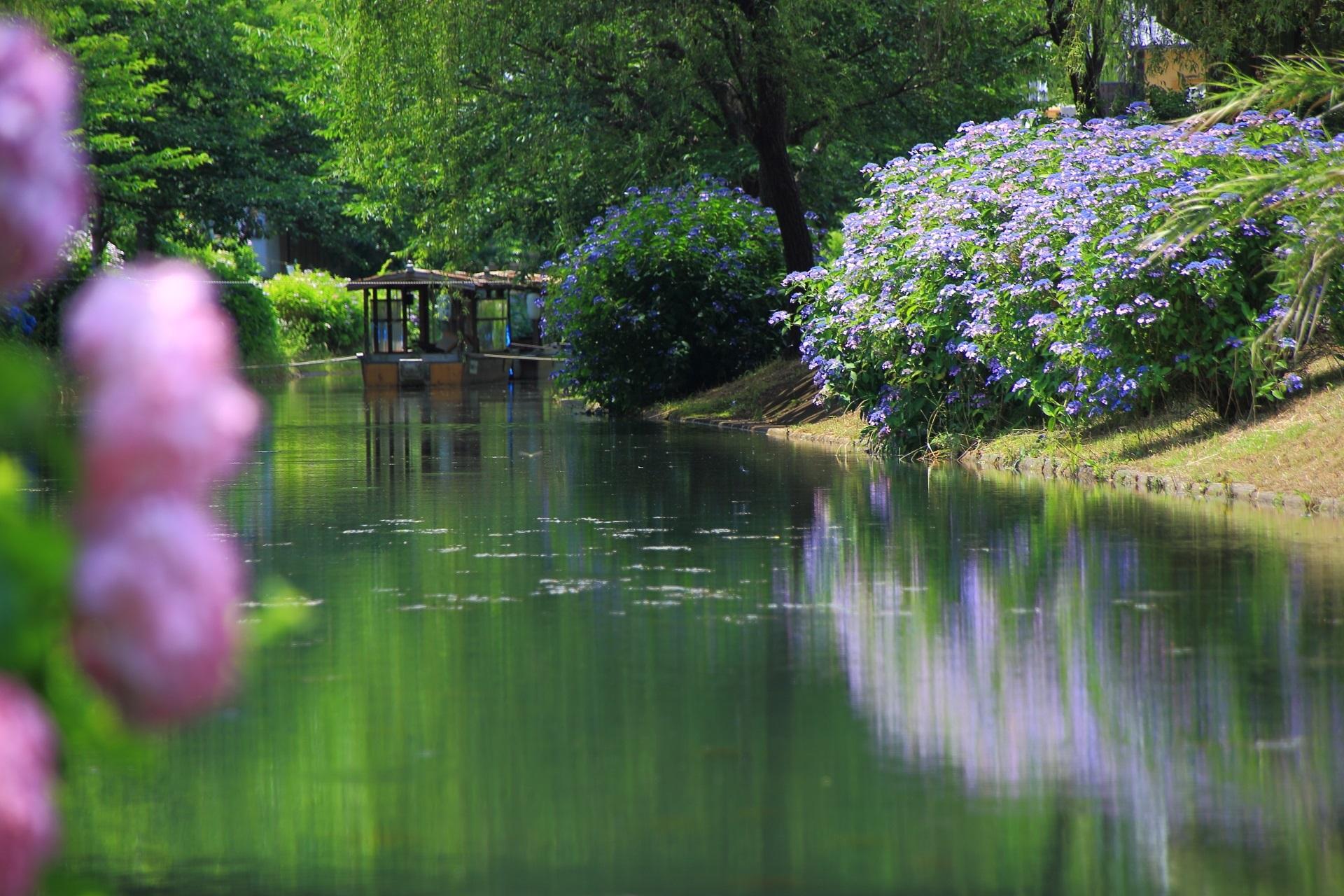 水辺を彩る紫陽花