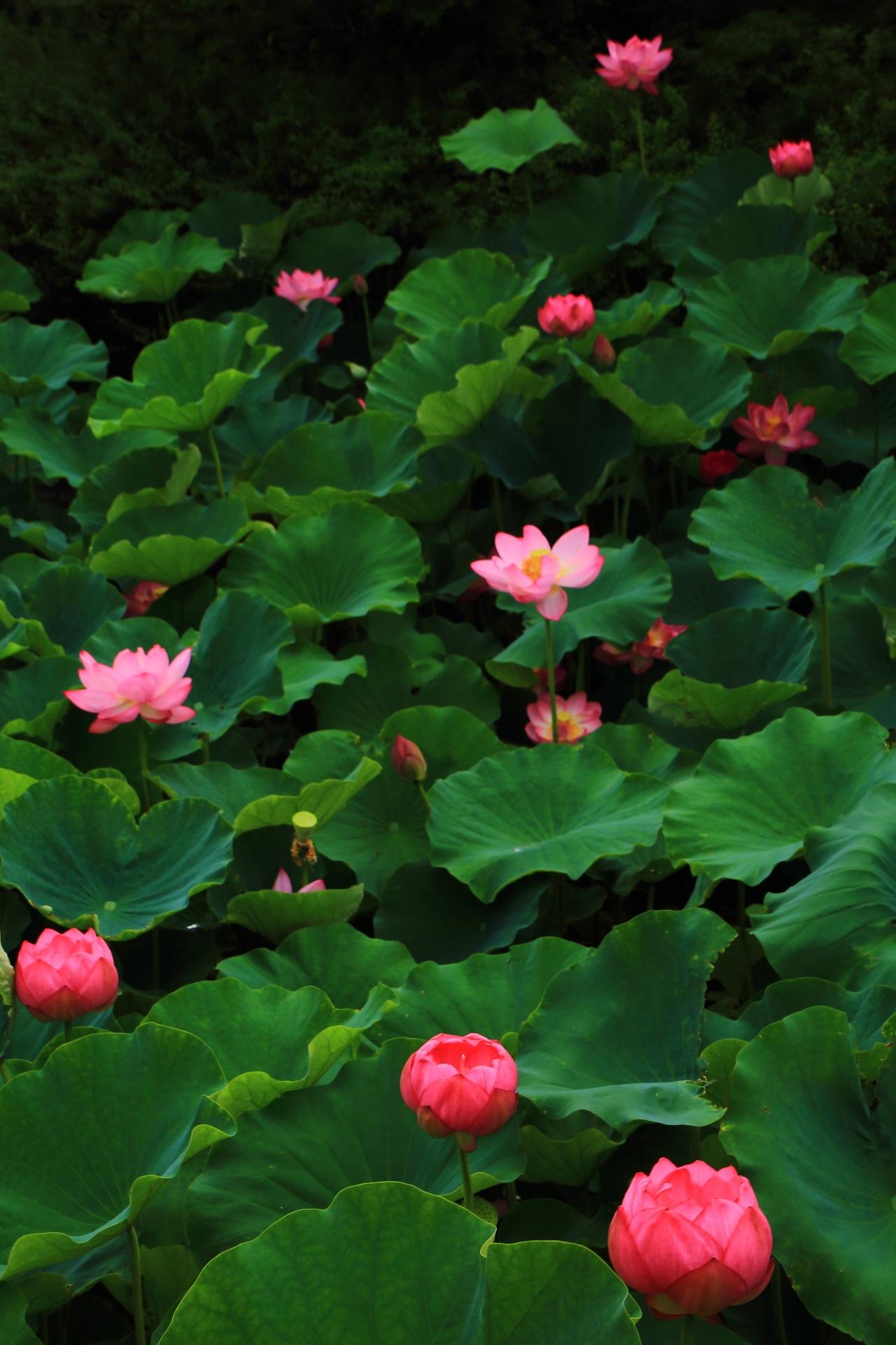 大きな緑の葉が演出する美しい蓮の花