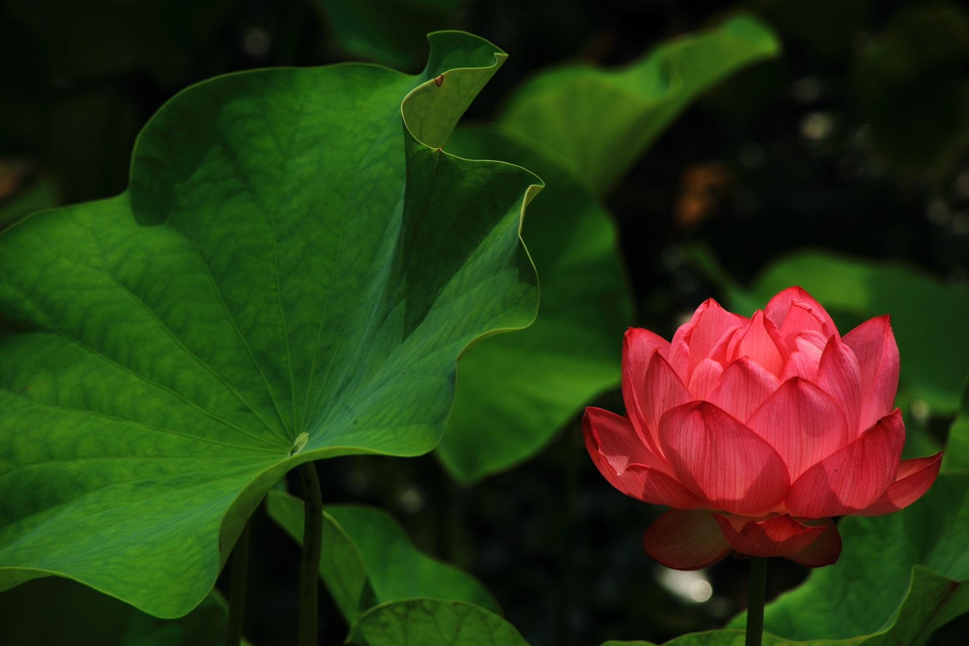 花びらが透き通りそうな綺麗なやや赤っぽいピンクの蓮の花