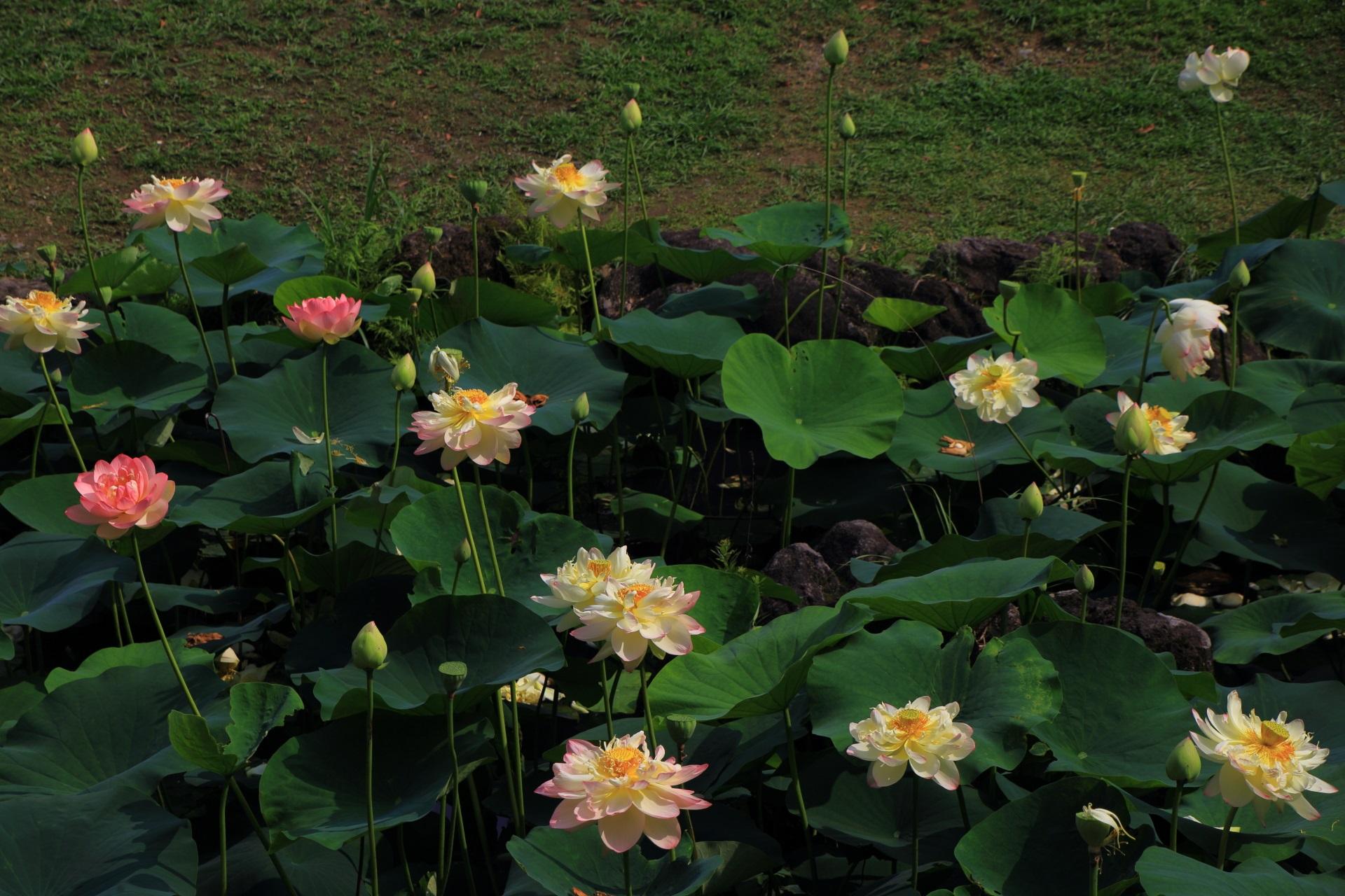 智積院の素晴らしい蓮の花と初夏の情景