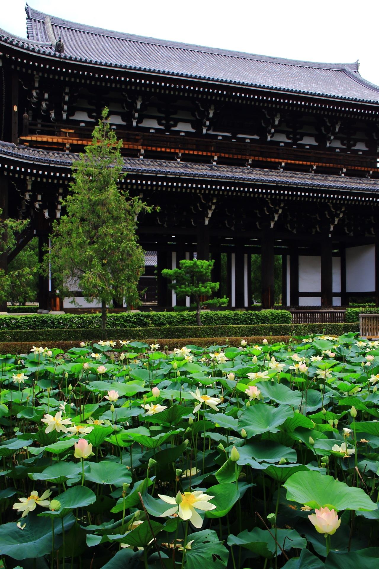 貸切状態の東福寺の三門と蓮池の凄い蓮の花