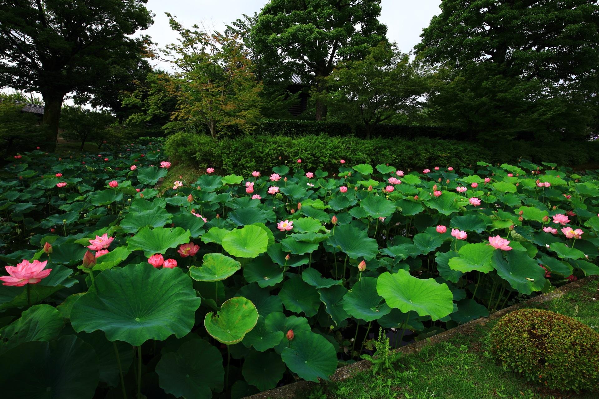 たくさんの蓮の花が咲き揃う東寺の宝蔵北側
