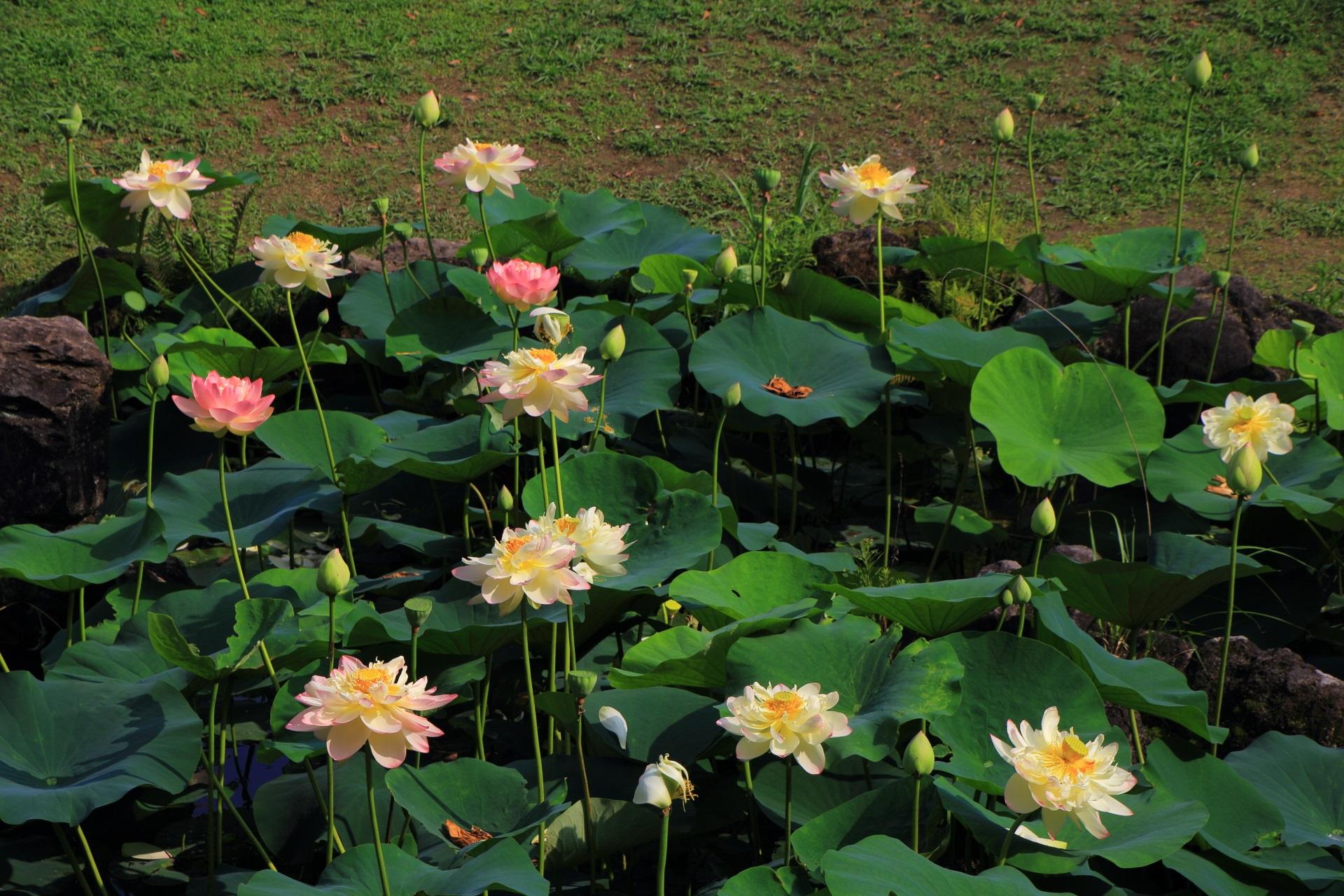 密度が高くたくさんの花が咲きそろう智積院の見ごろの蓮池