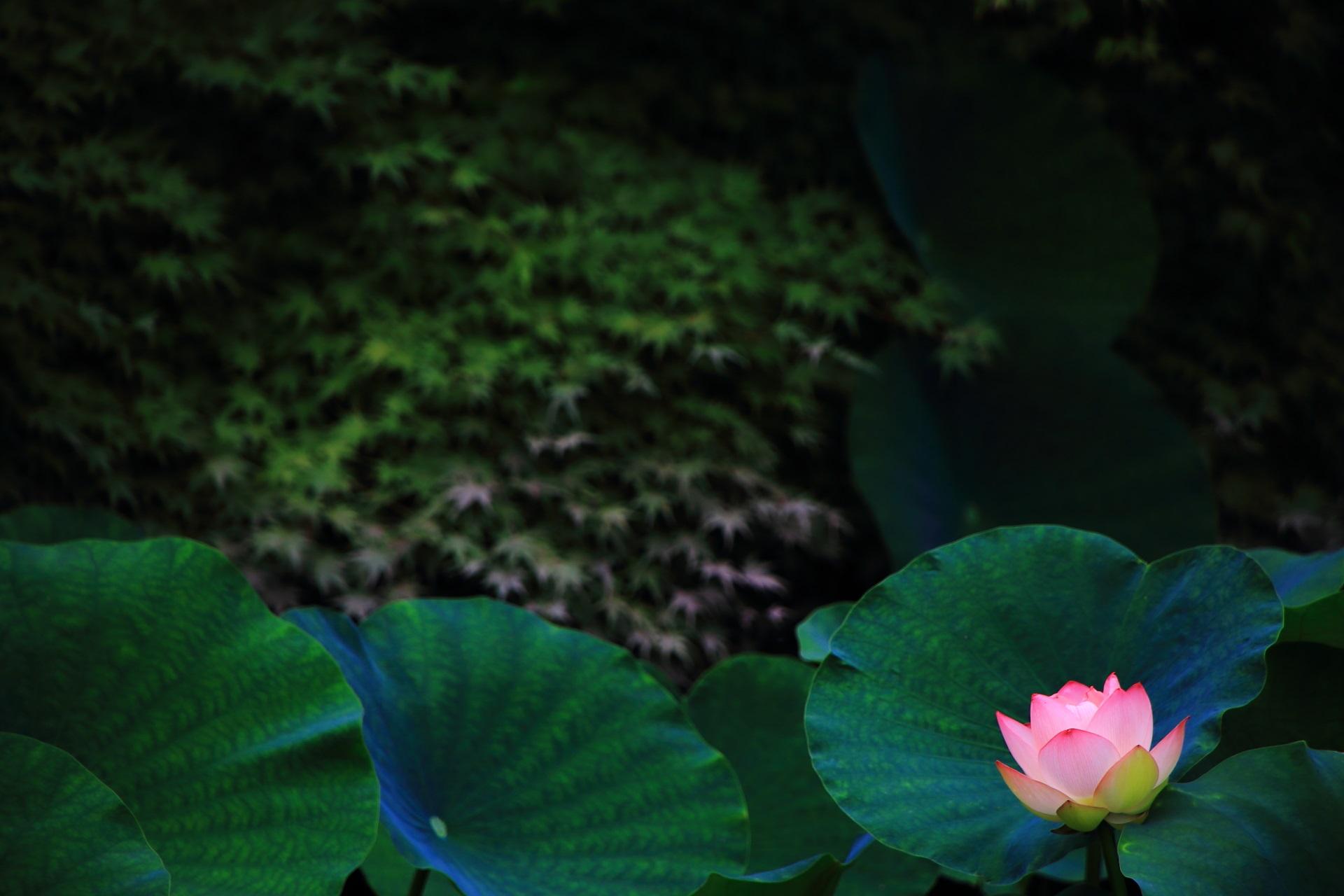 知恩院の美しく可愛いピンクの蓮の花