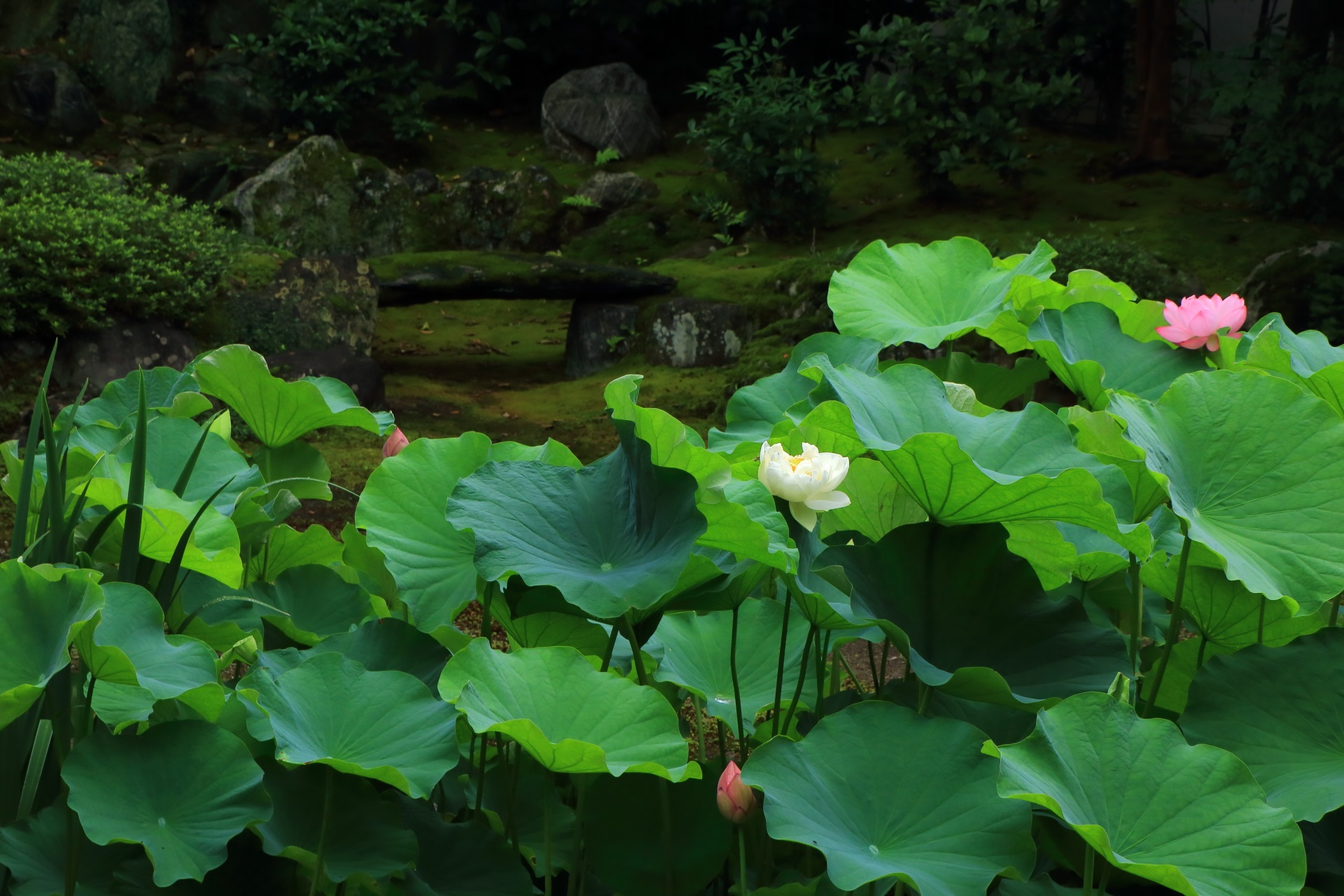Honpoji-Temple in Kyoto where gorgeous lotus flowers bloom