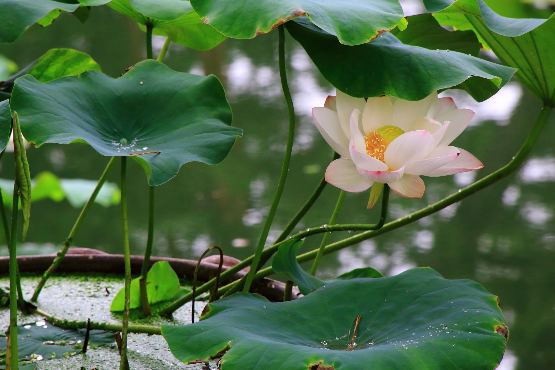 葉に少し隠れて傘をさしたような蓮の花