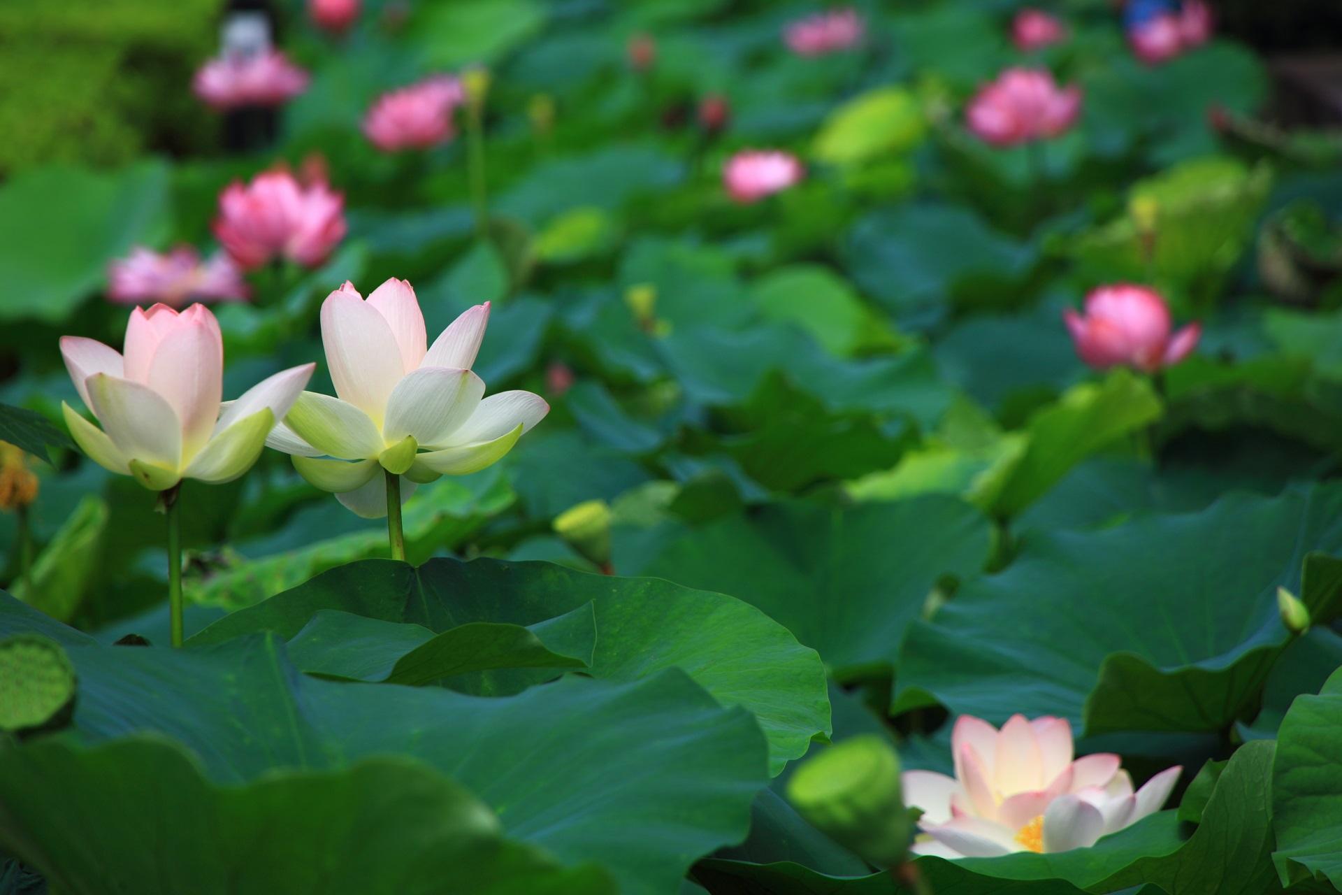 緑の波のような蓮の葉の上に咲くうっすらとピンクの入った白い蓮の花