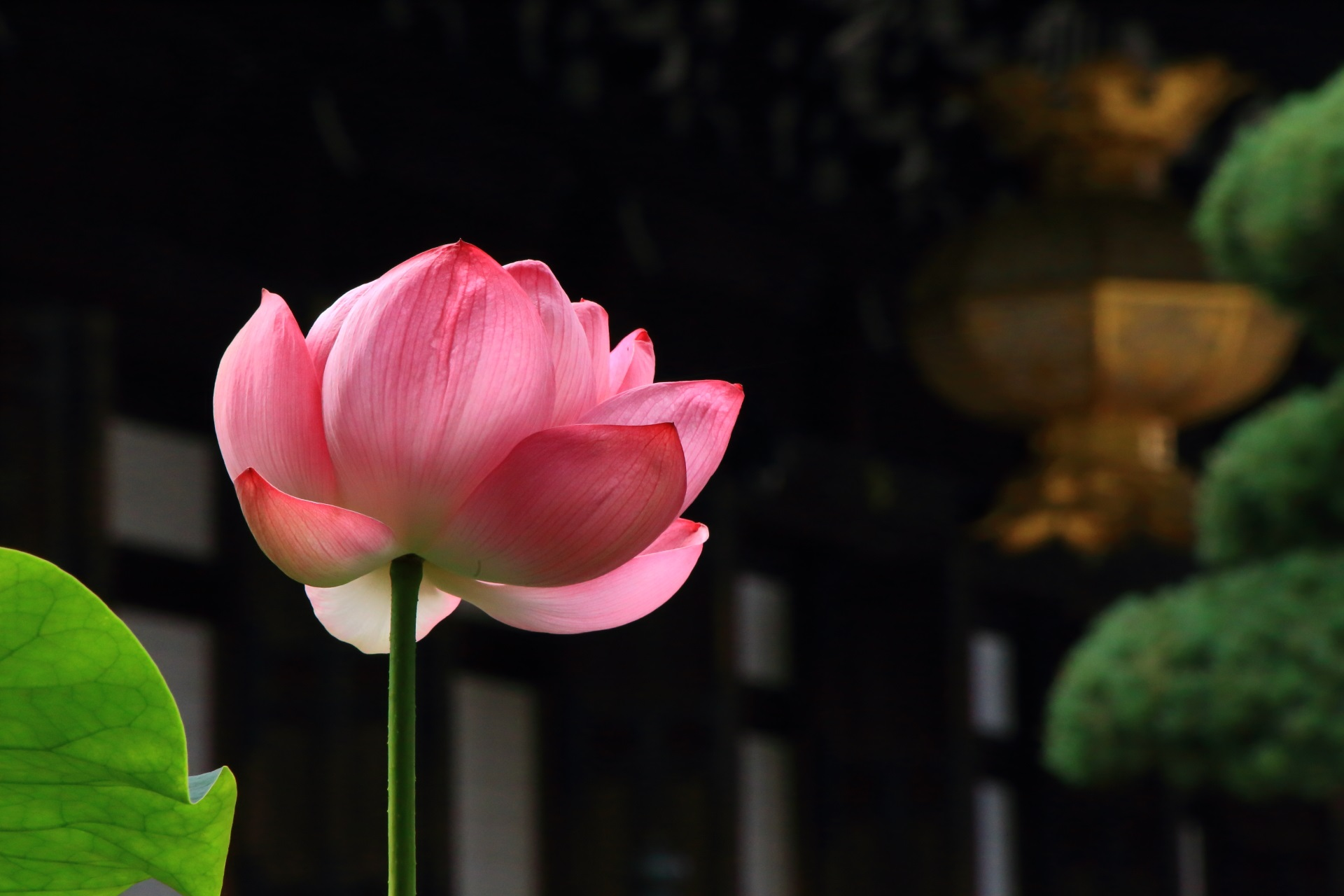 大谷本廟の仏殿や松と良く合うほんのりと光る鮮やかなピンクの蓮の花