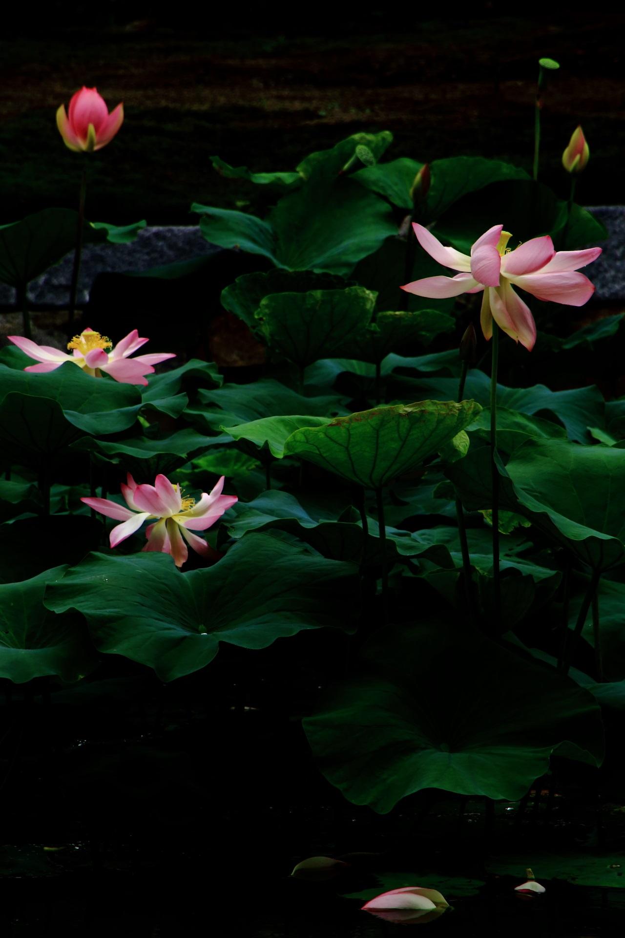 コントラスト強めの建仁寺の凛とした感じの蓮の花