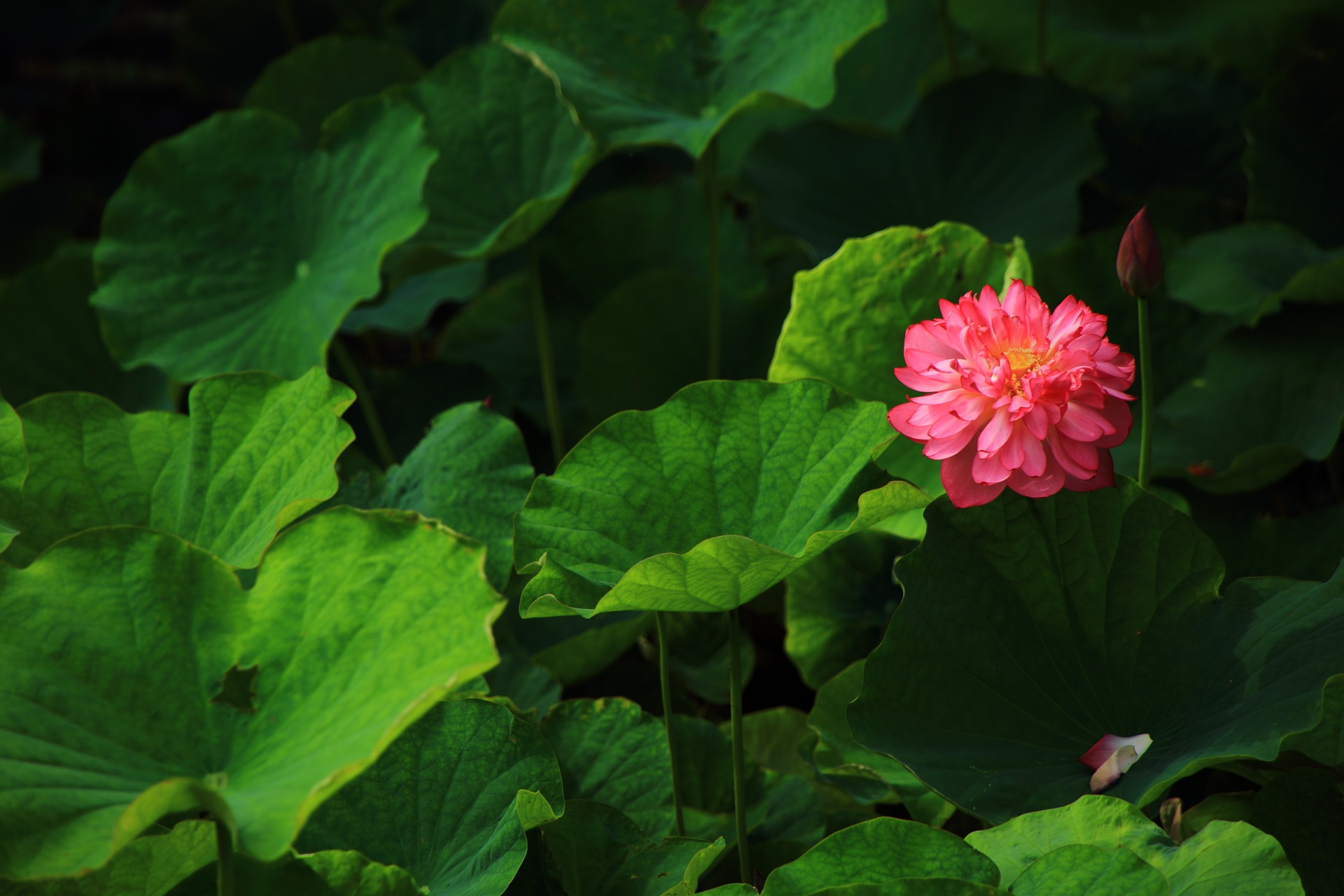 色んな種類や形がある蓮のうちの花びらがたくさんある蓮の花