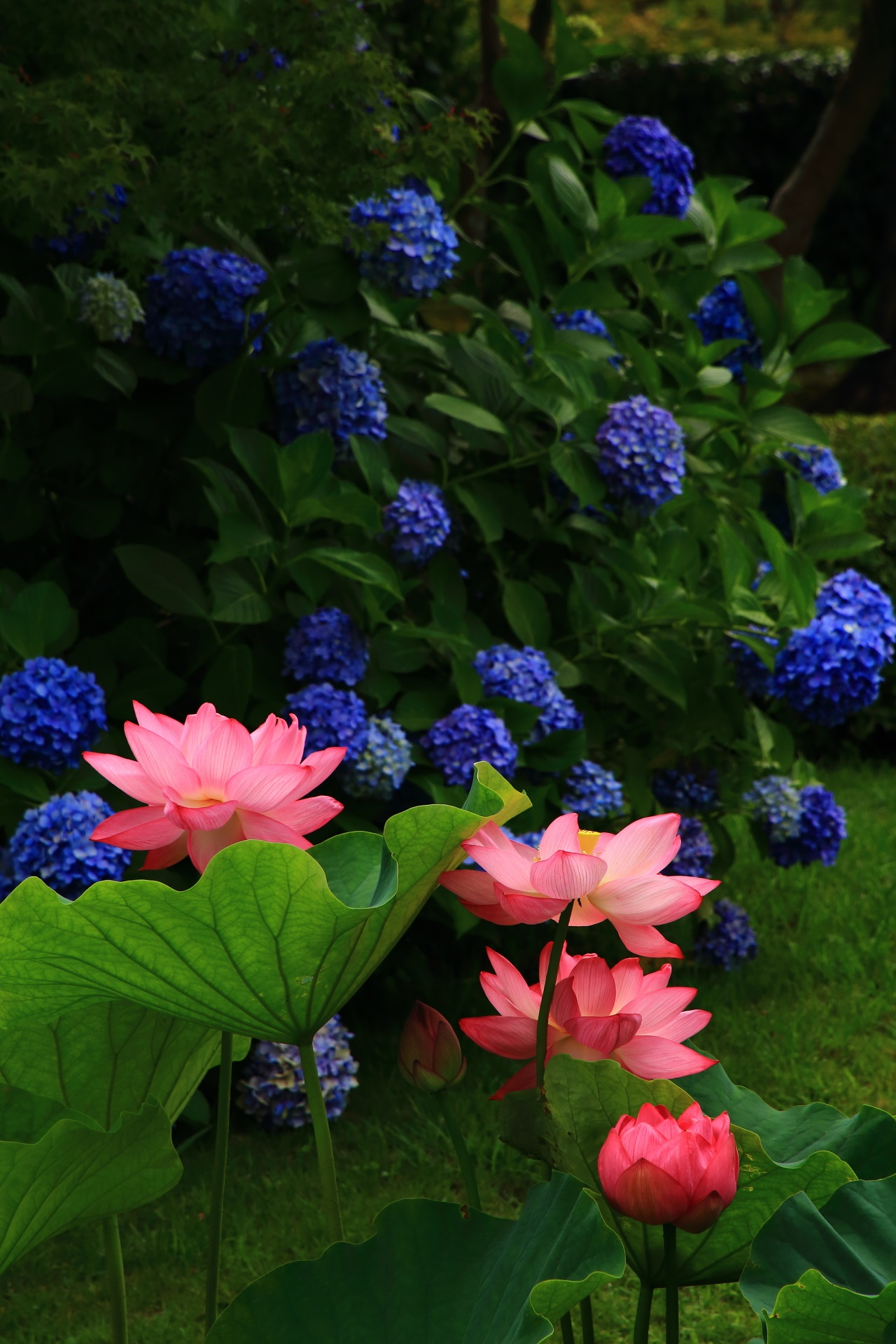 Collaboration of lotus flower and hydrangea at Toji-Temple in Kyoto