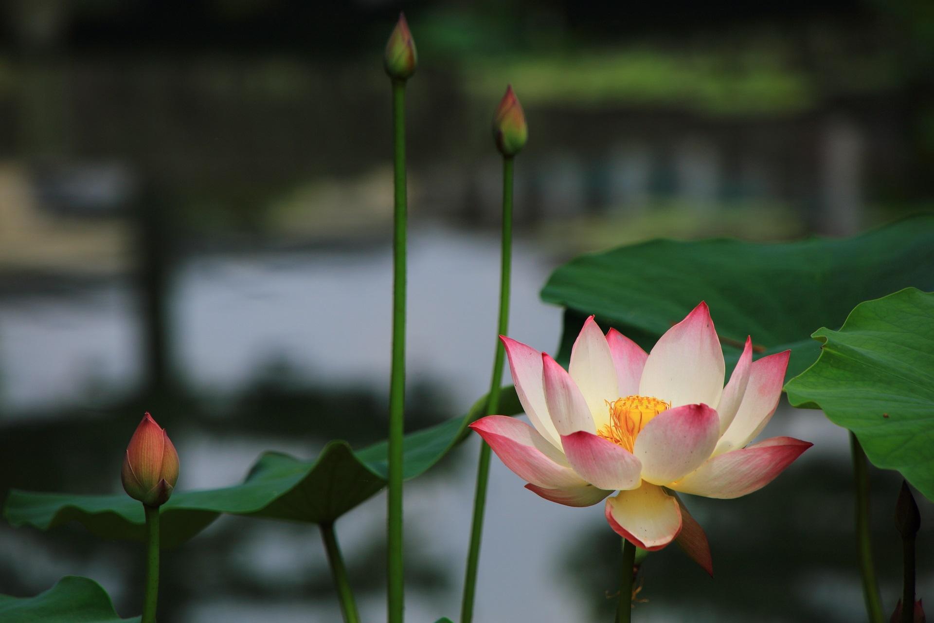 花びらの先がピンクに染まった上品な色合いの蓮の花