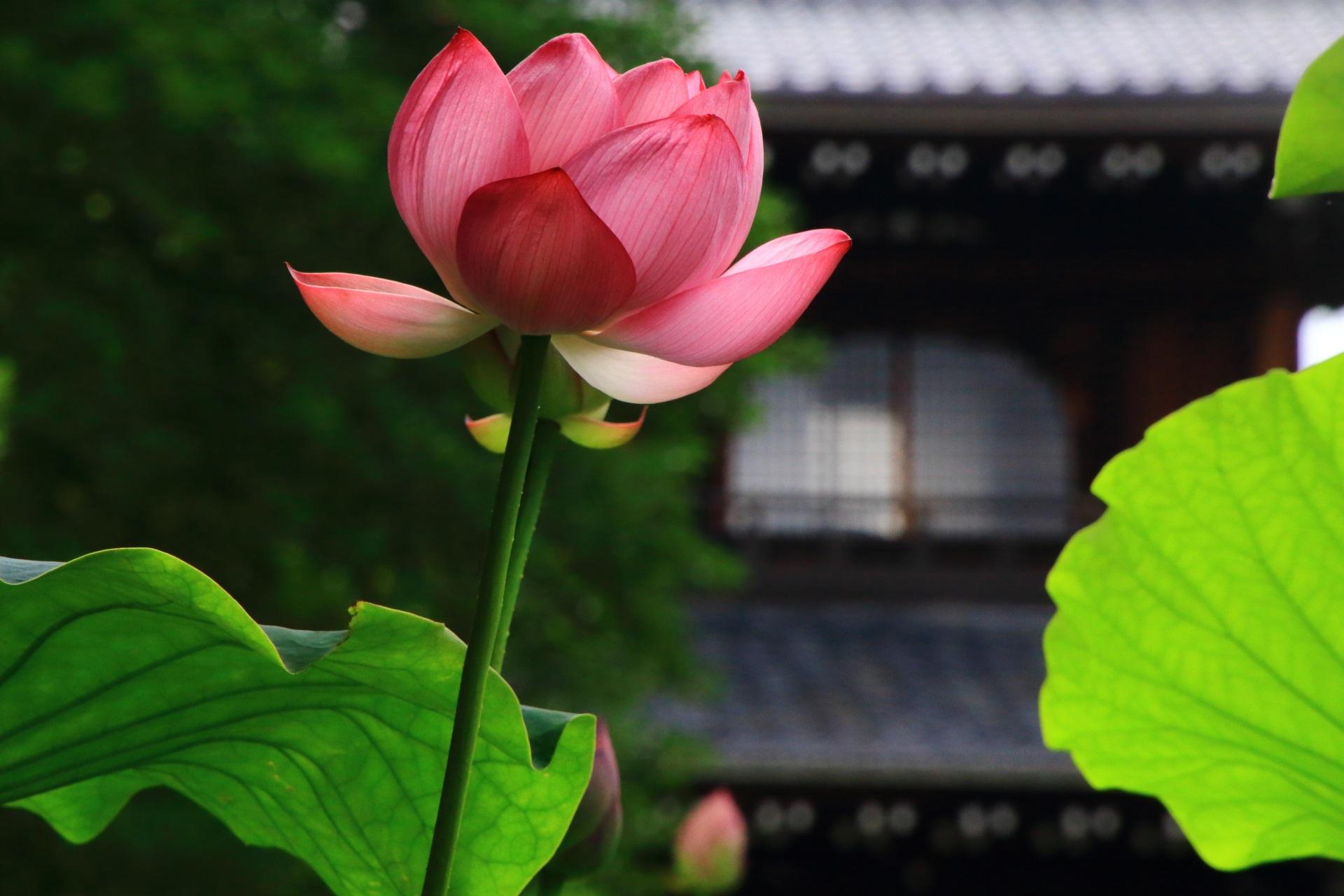 大谷本廟の天に向かって咲く蓮の花と背景の二天門