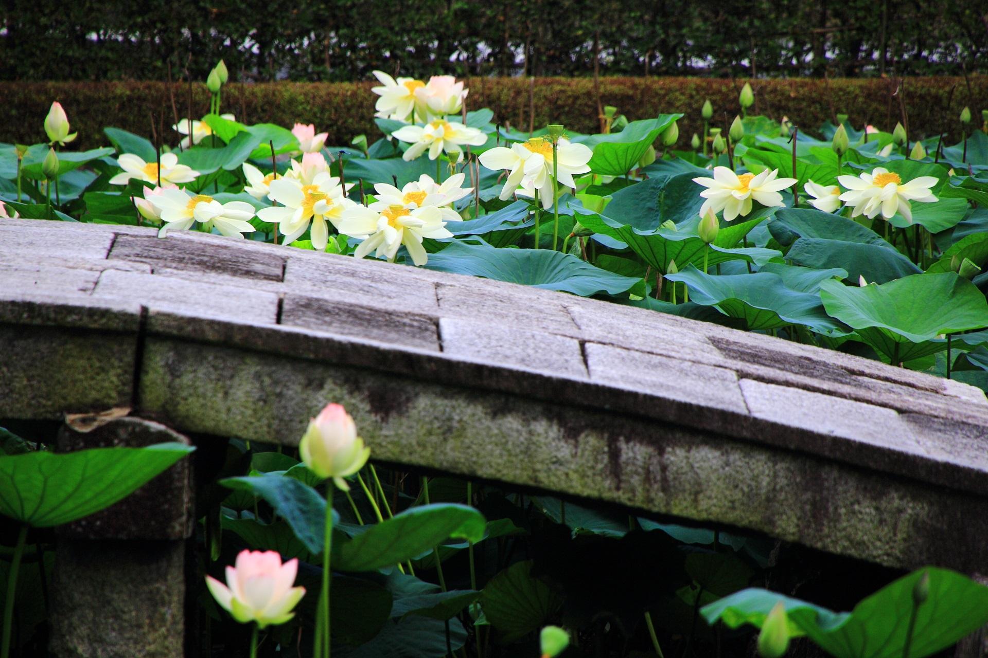 見ごろのハスの花につつまれた東福寺(とうふくじ)