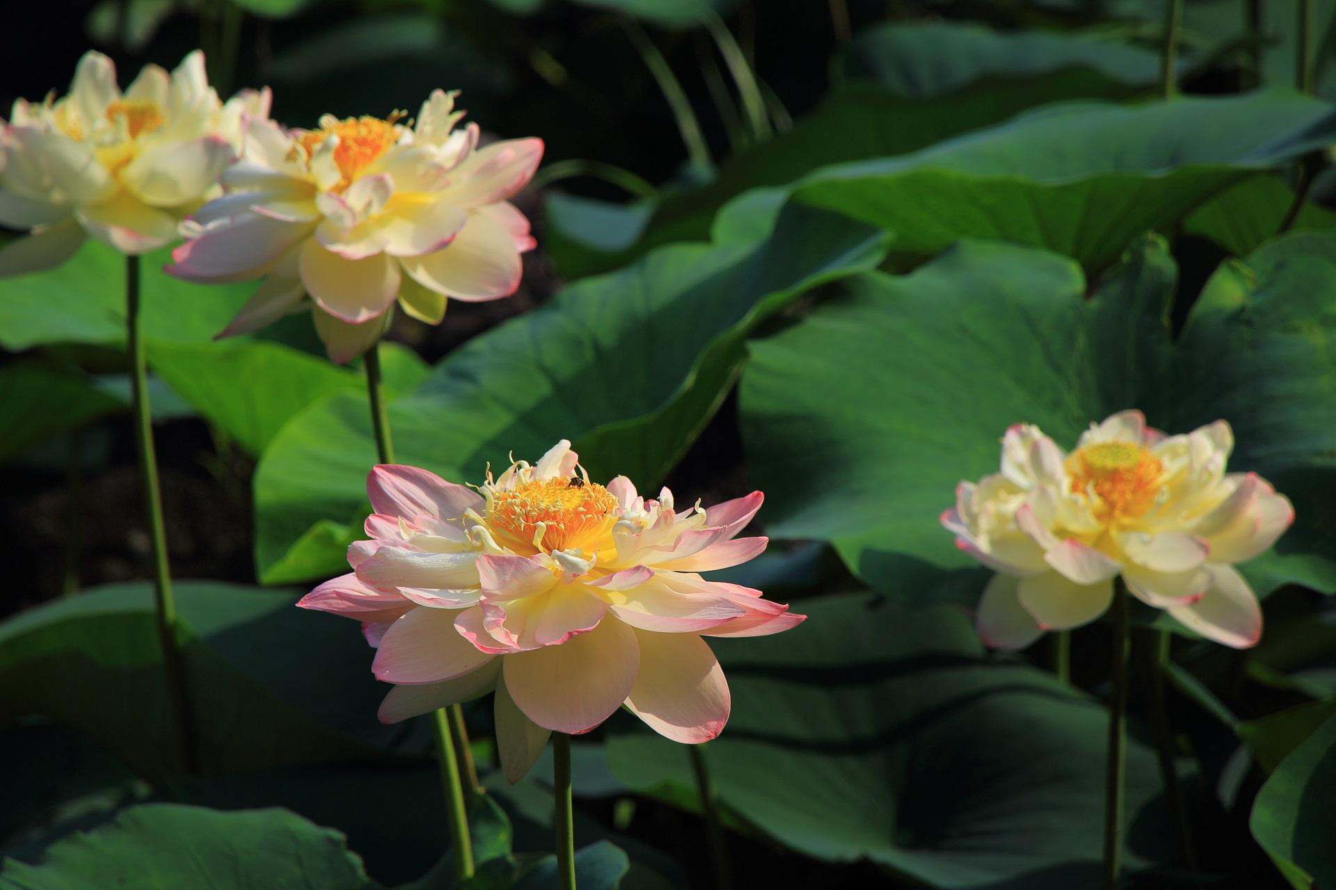智積院の白にうっすらピンクが入った華やかな蓮の花
