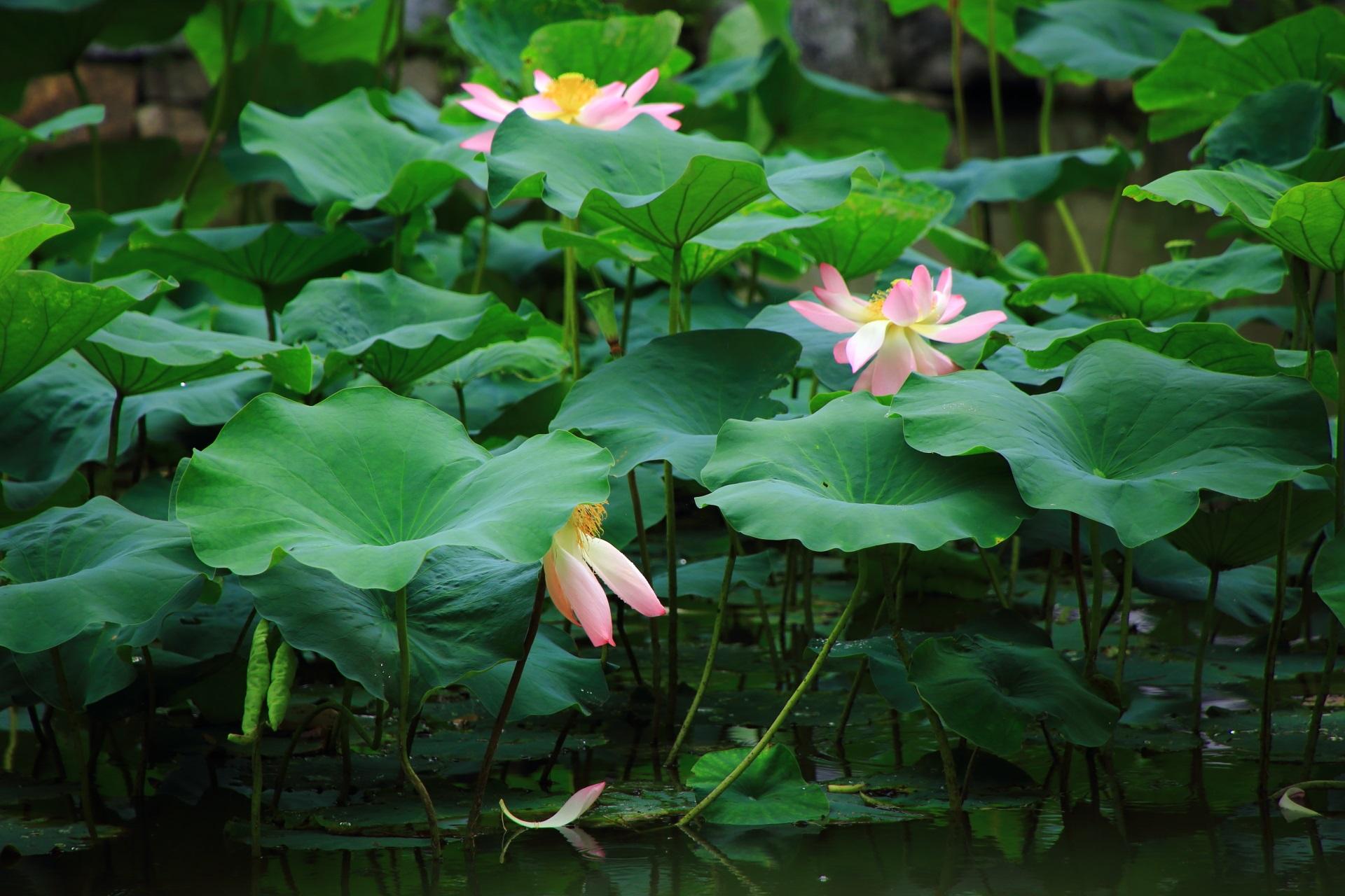 美しく風情もある建仁寺の散った蓮の花びら