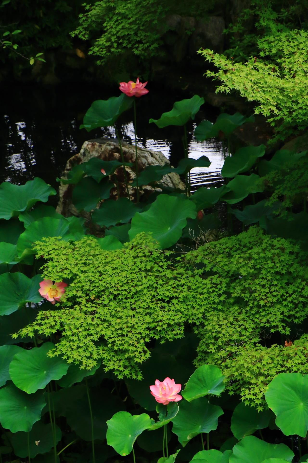 大谷本廟の池の蓮と青もみじと岩と水面の煌きの贅沢な夏の風景
