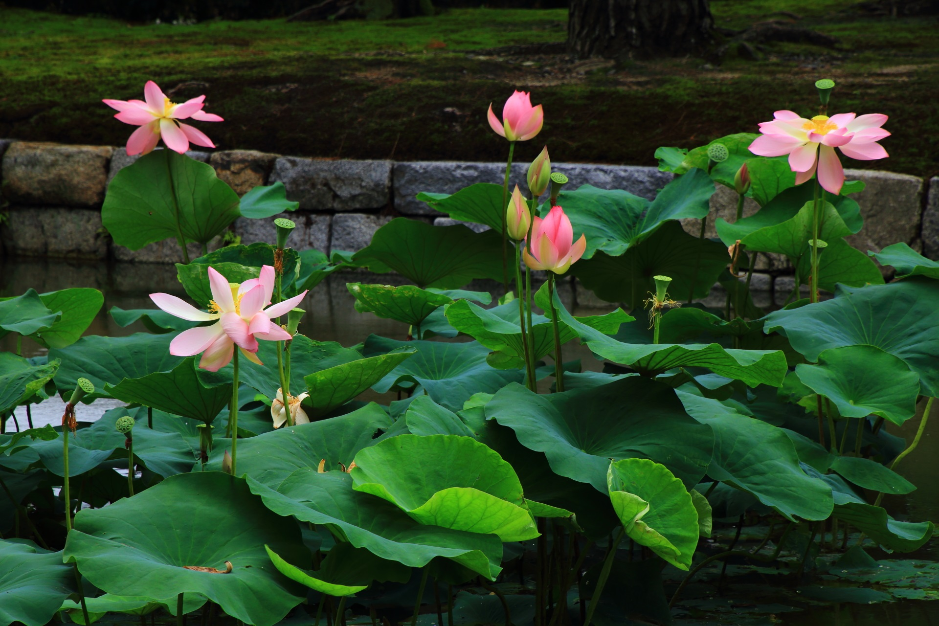 素晴らしい色合いのピンクの花が咲く蓮の穴場の建仁寺