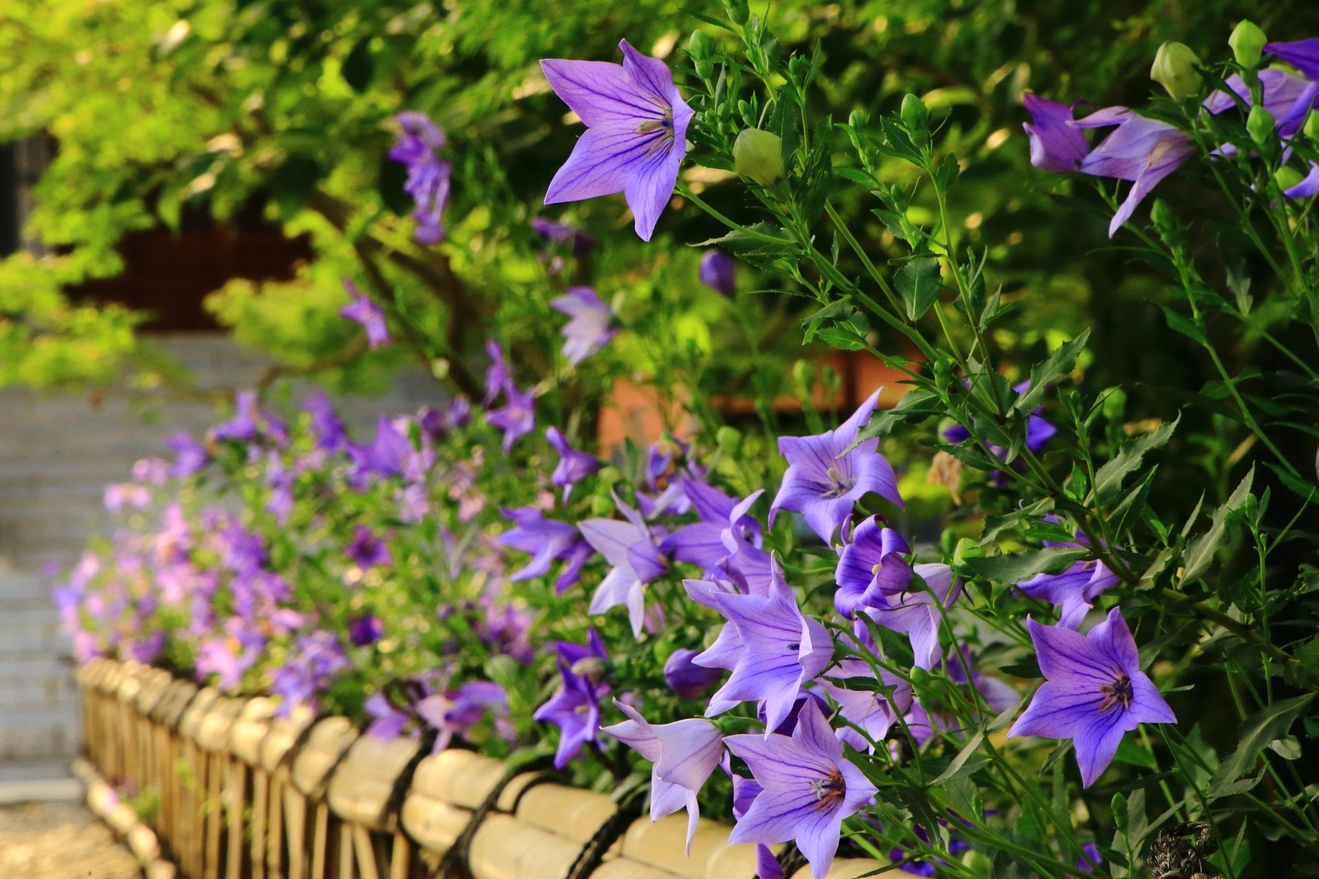 智積院の元気いっぱいに咲き誇る満開の桔梗の花