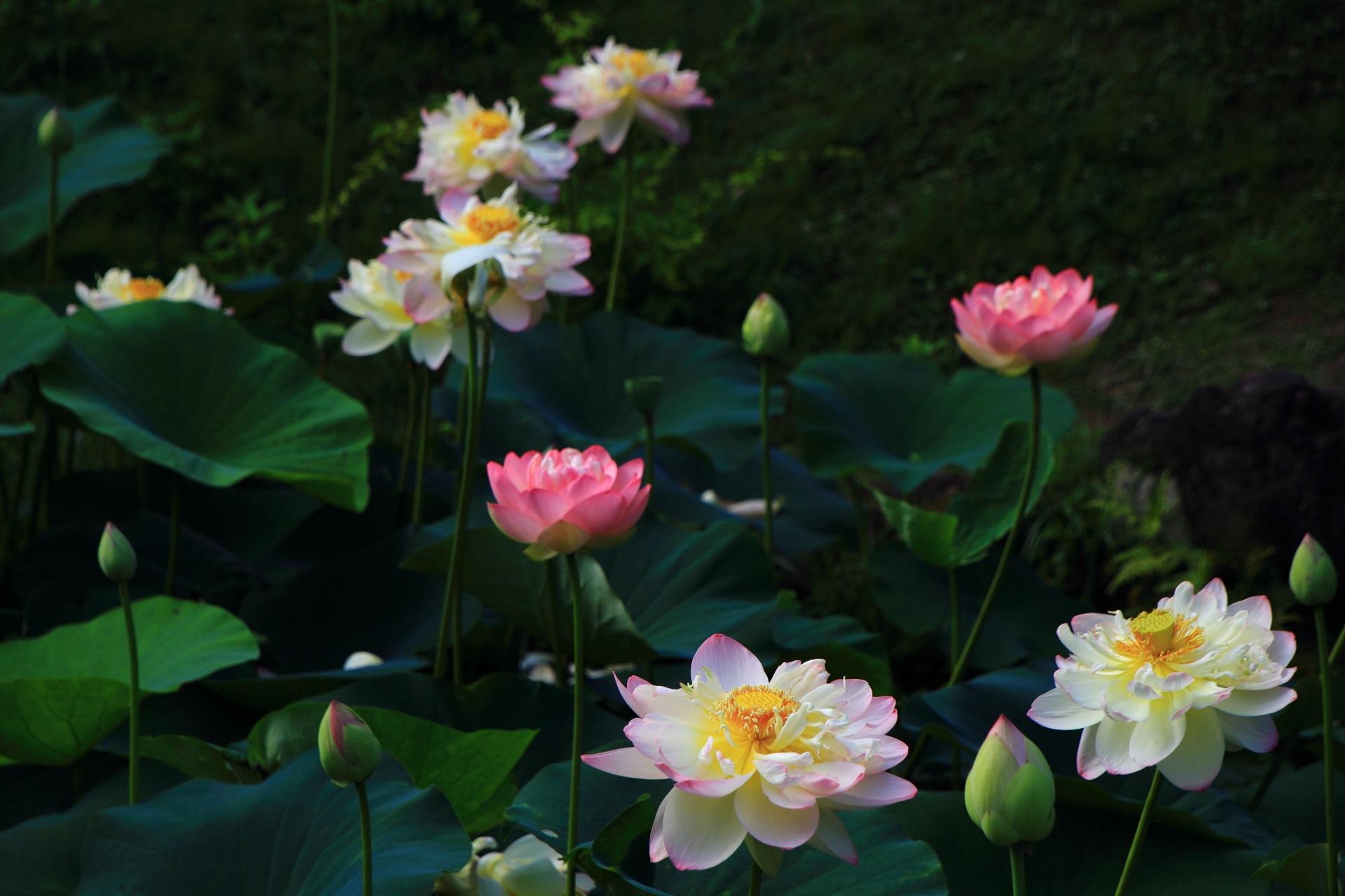 緩い日差しのもとで華やぐ紅白のおめでたい色合いの幻想的な蓮の花
