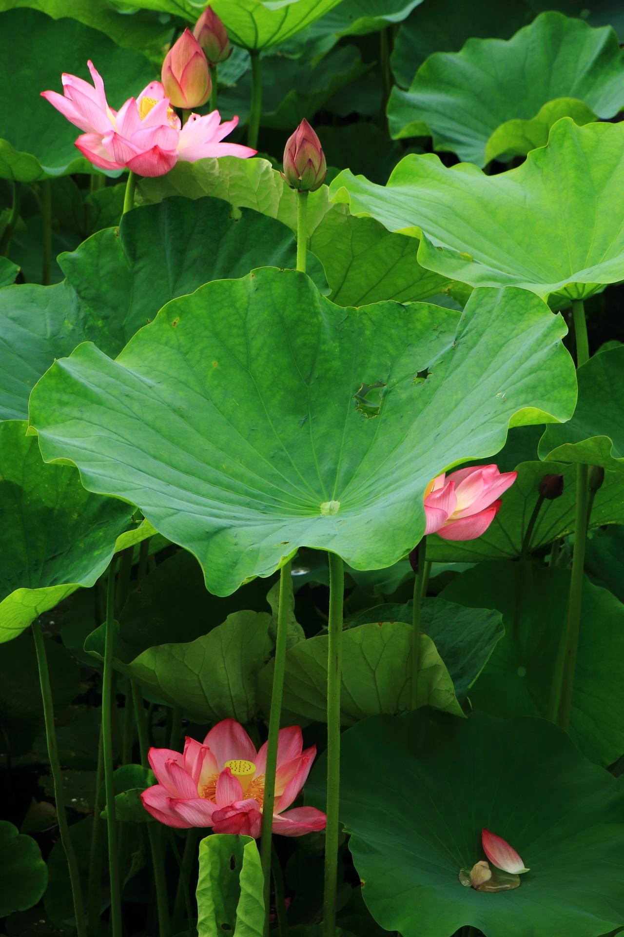 東寺のいろんな高さで咲く個性が強い蓮の花