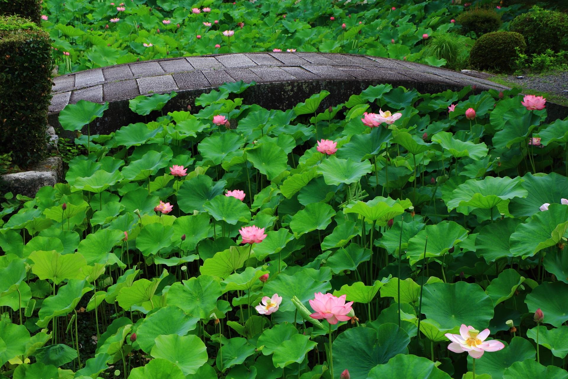 良い感じの中央の石橋と蓮の花