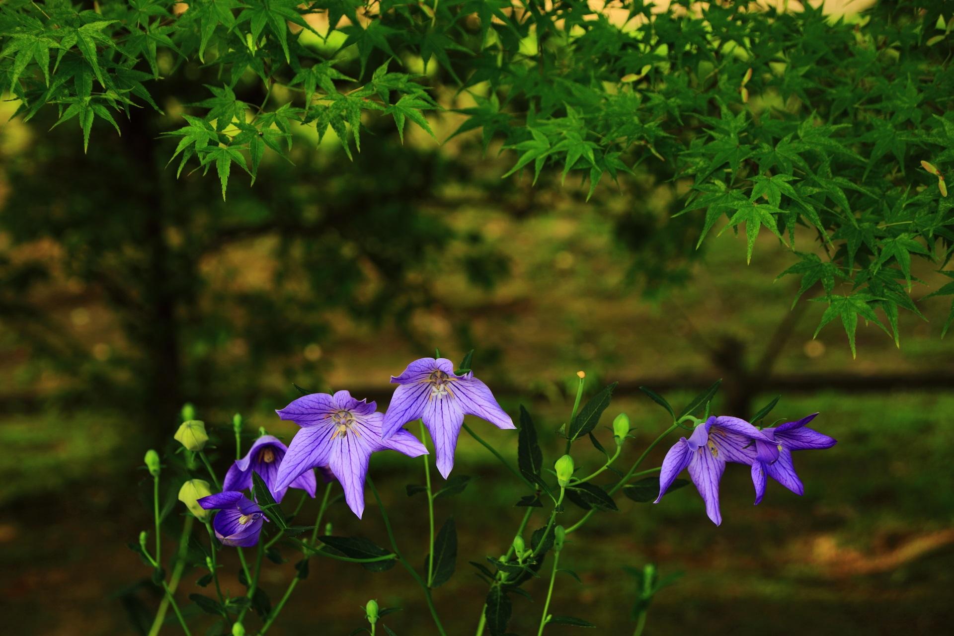 深い緑の青もみじと妖艶な桔梗の花