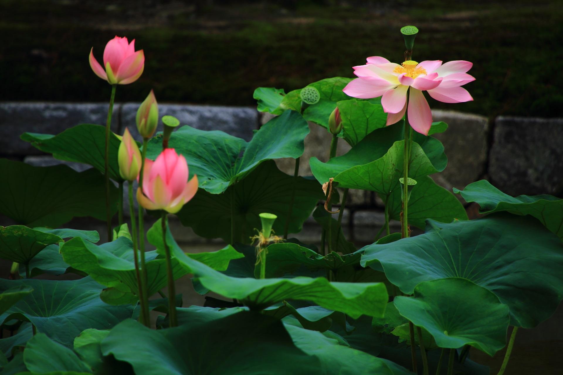 蓮の葉の深い緑に映える華やかなピンクの花