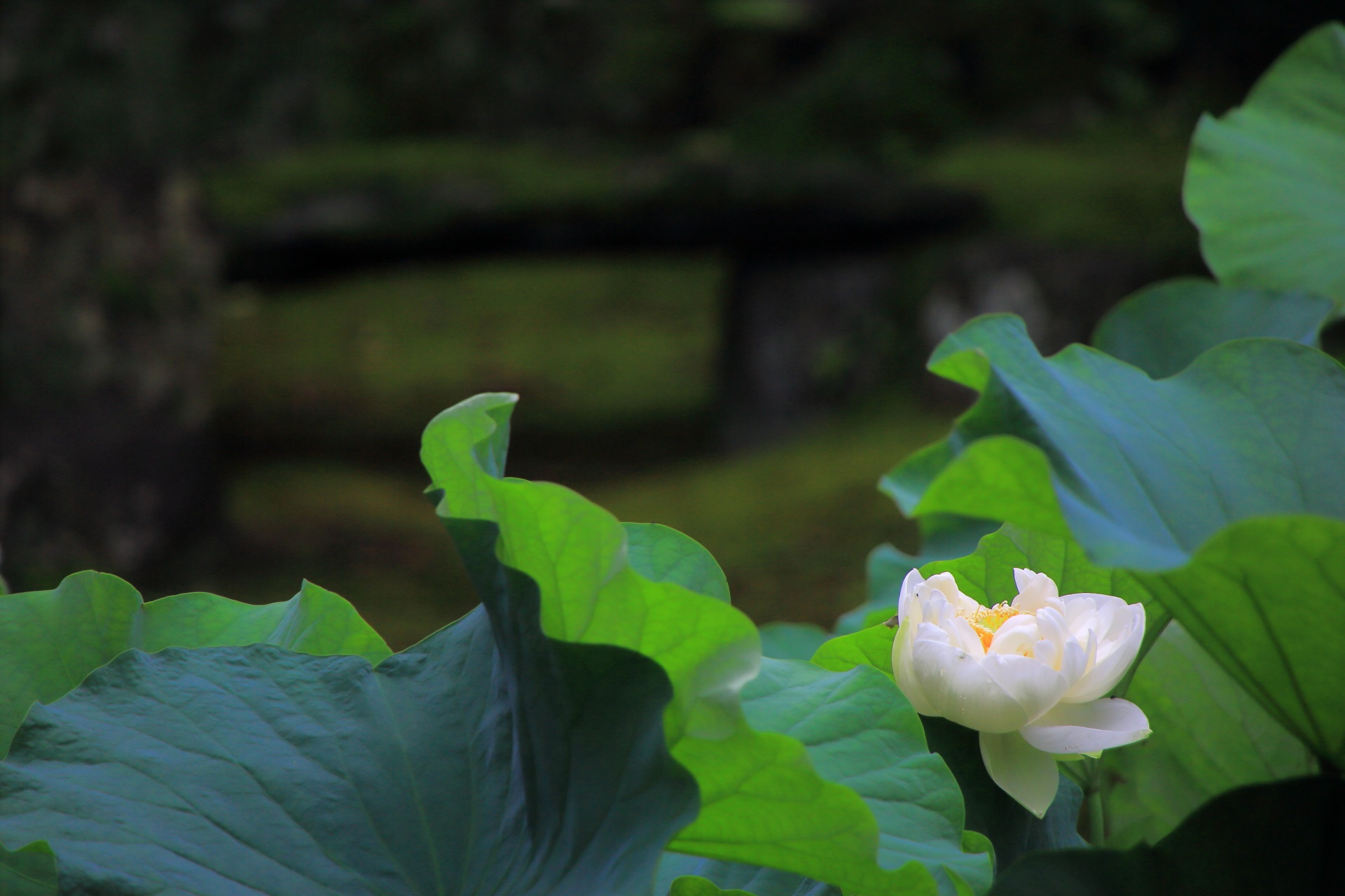 本法寺の巴の庭の白い蓮の花と築山