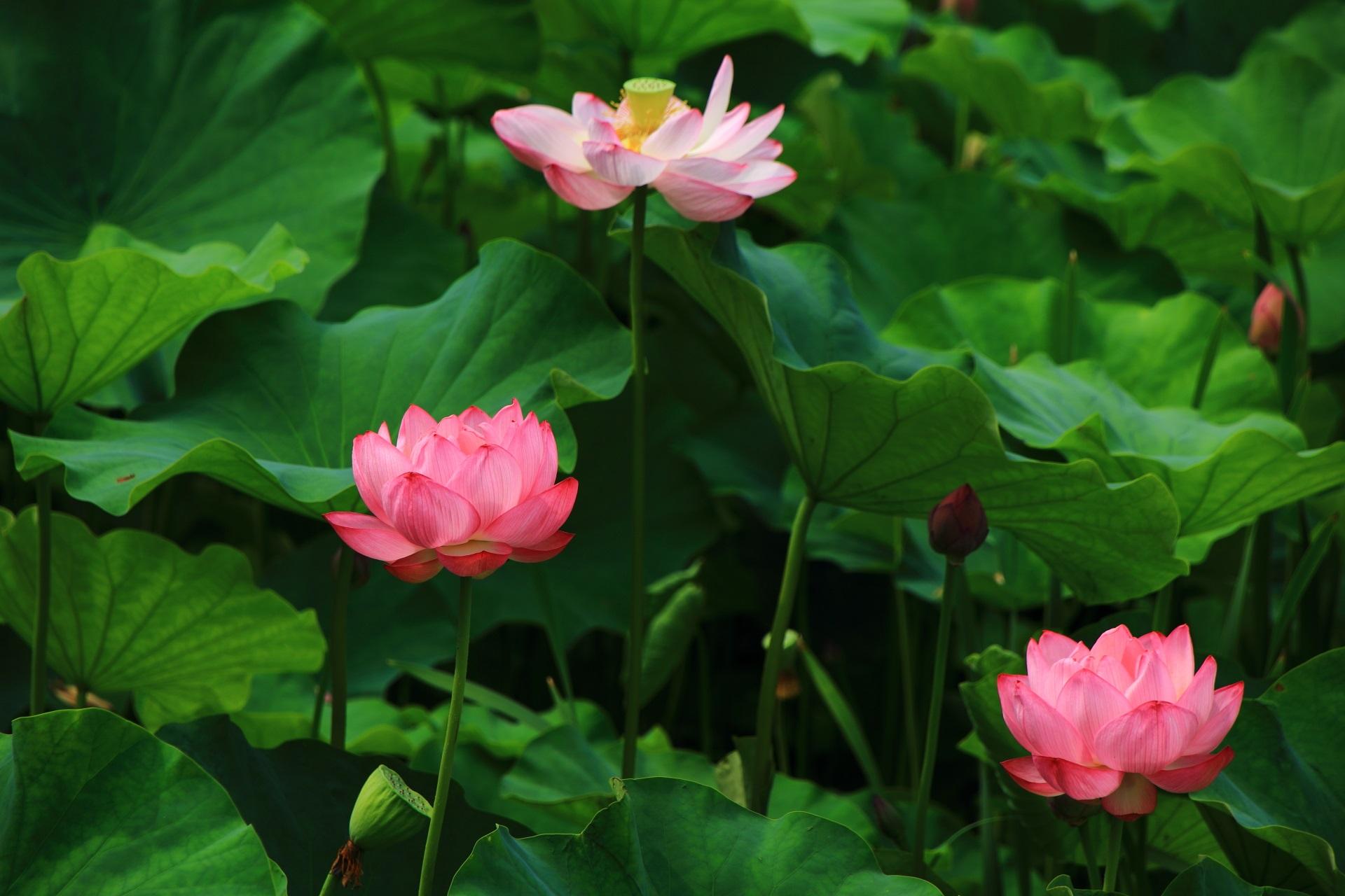何となくふわふわして飛びそうな蓮の花