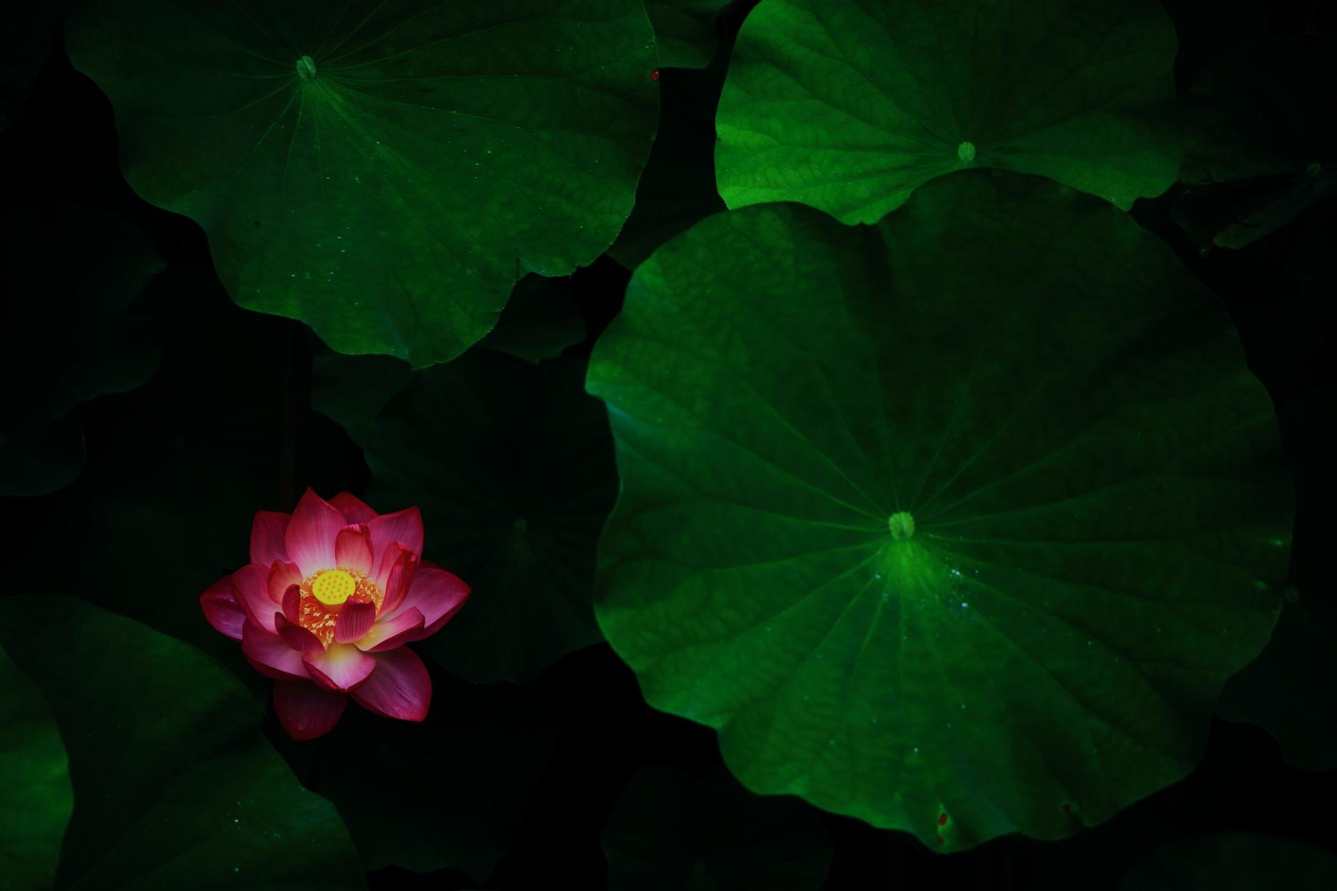 コントラスト強めの暗闇で静かに咲く蓮の花