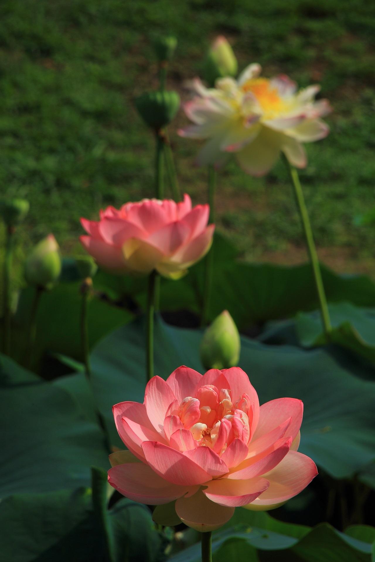 太陽を浴びて輝く見事なピンクの蓮の花