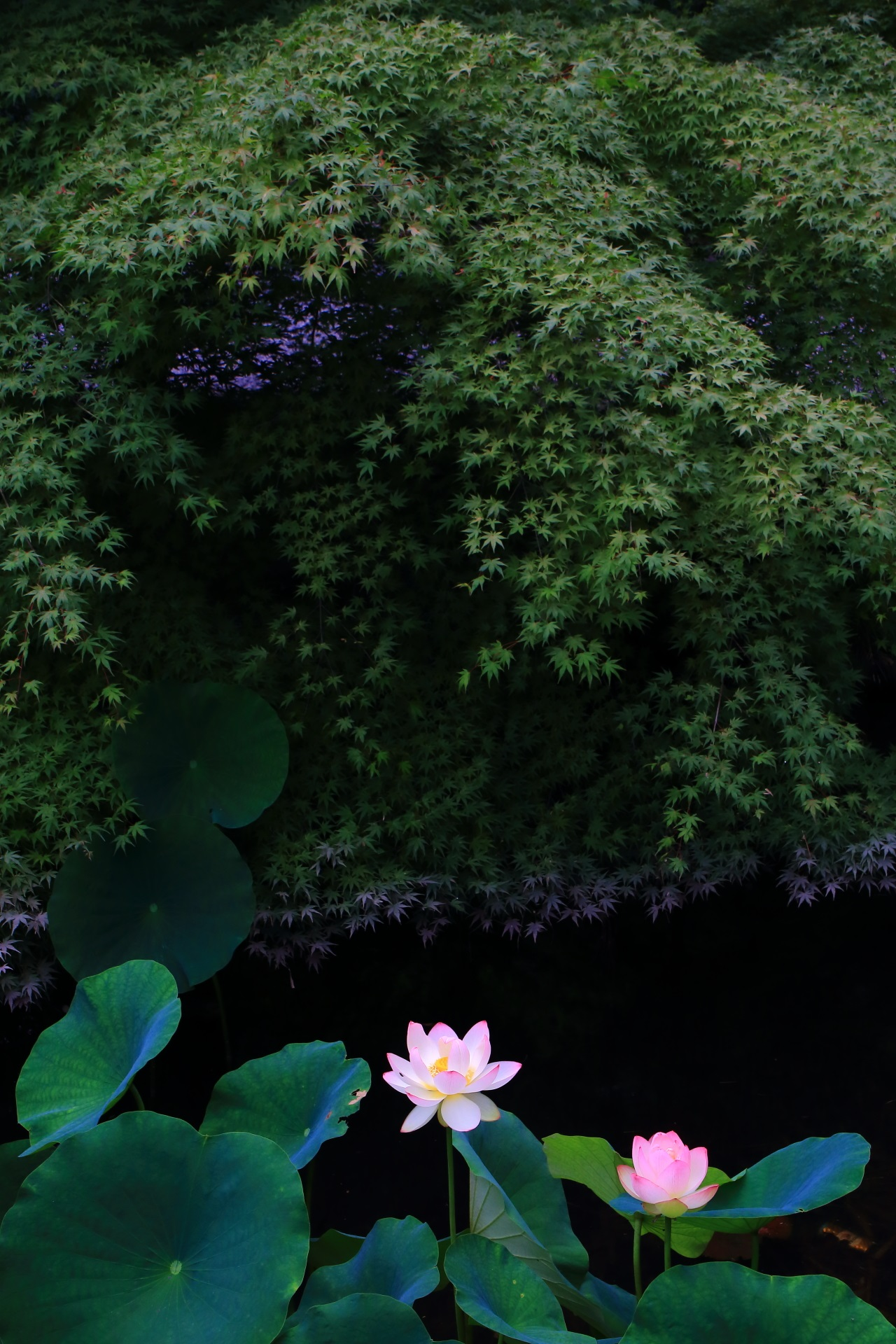 Chion-in Temple in Kyoto where you can enjoy spectacular lotus flowers and blue maples