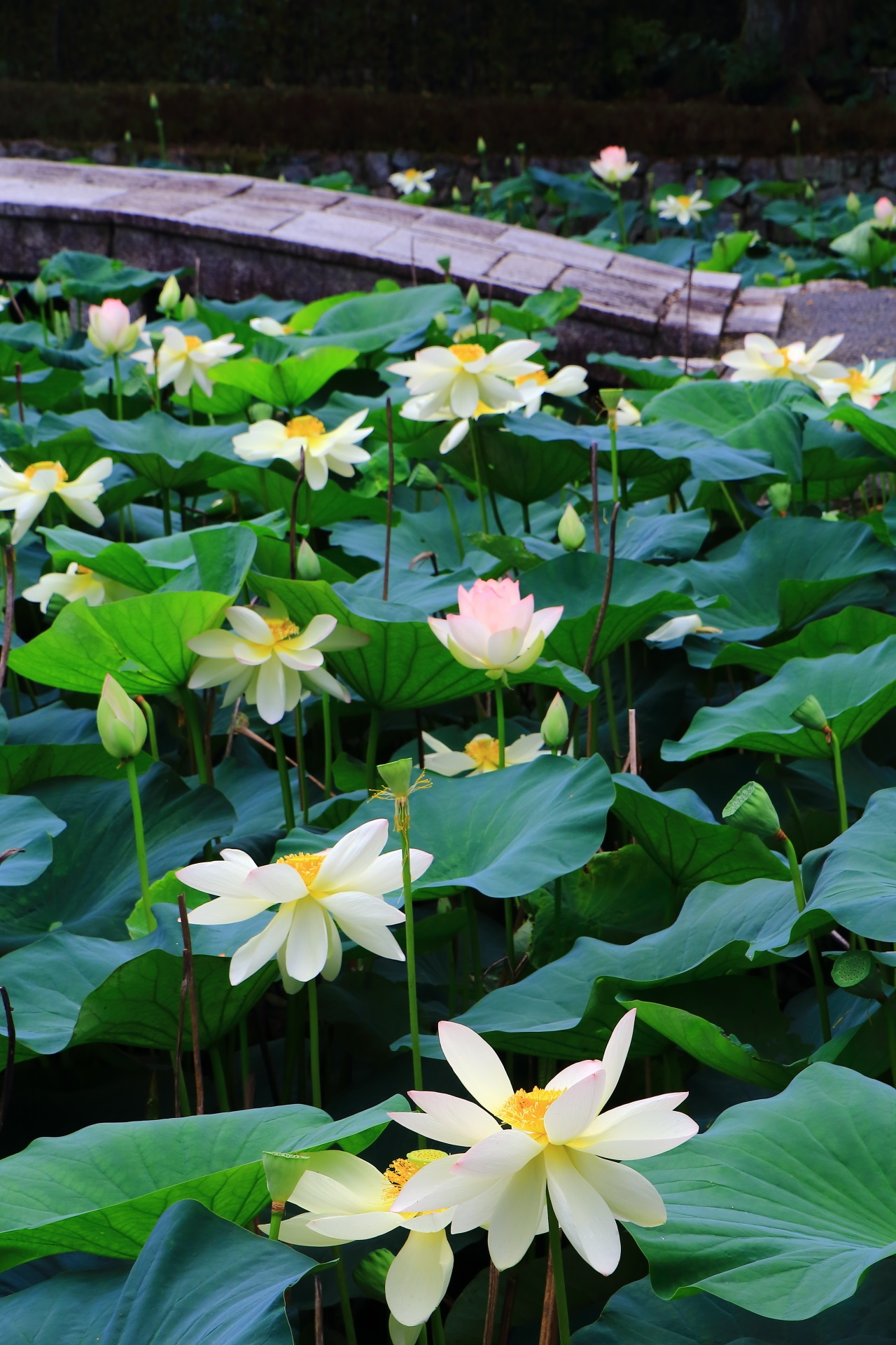 Lotus flowers blooming in Tofukuji-Tempel in Kyoto,Japan