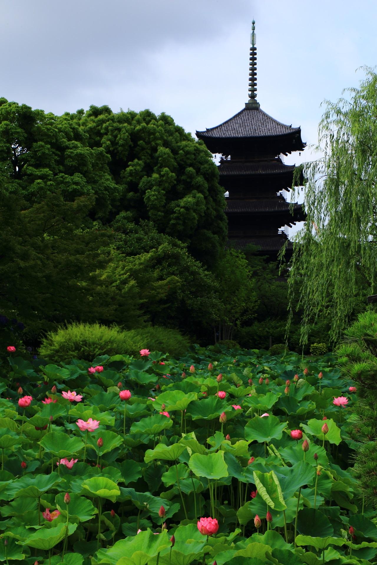 五重塔と蓮の東寺の一番絵になる蓮の景色