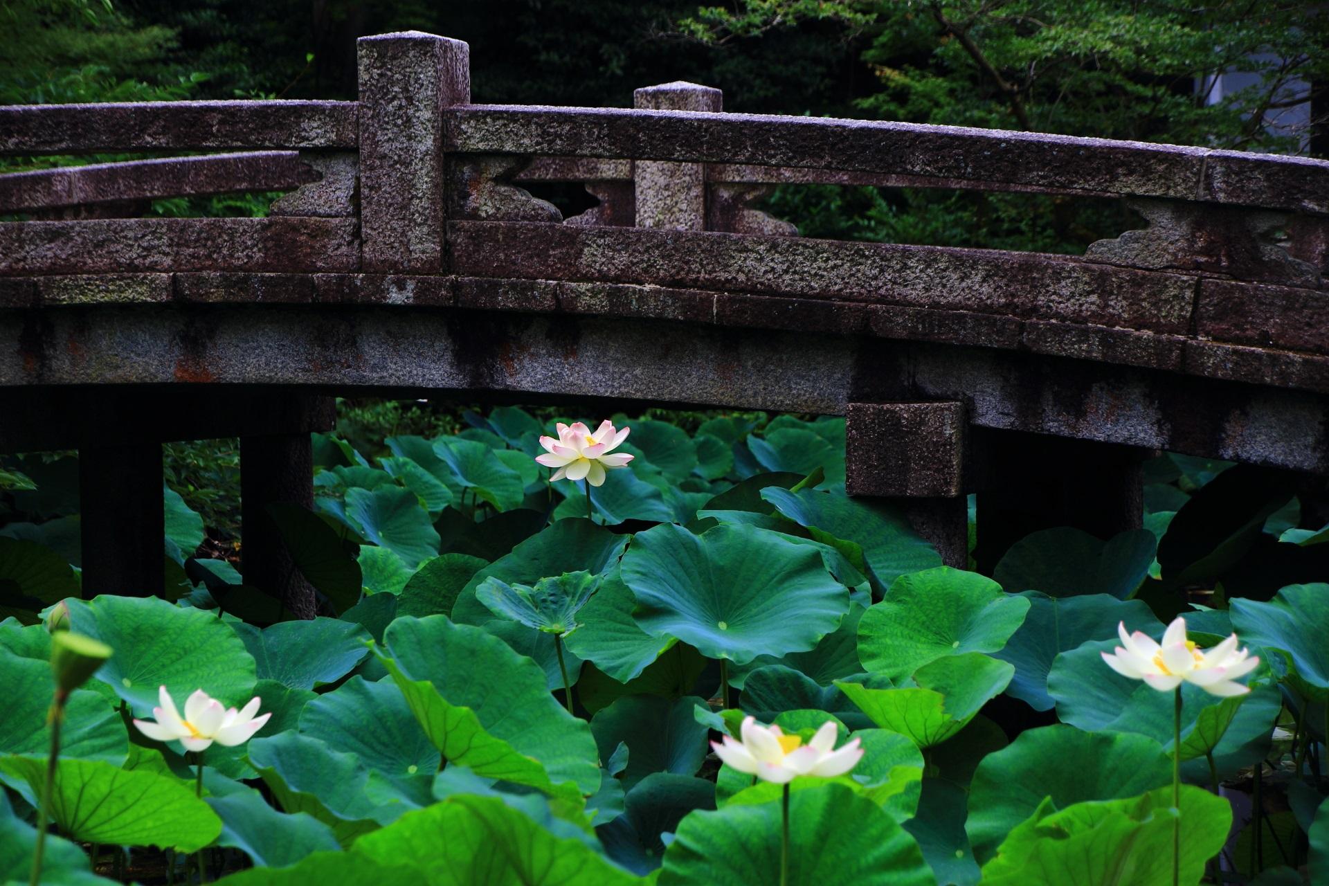 落ち着いた雰囲気の中で咲く極上の蓮の花