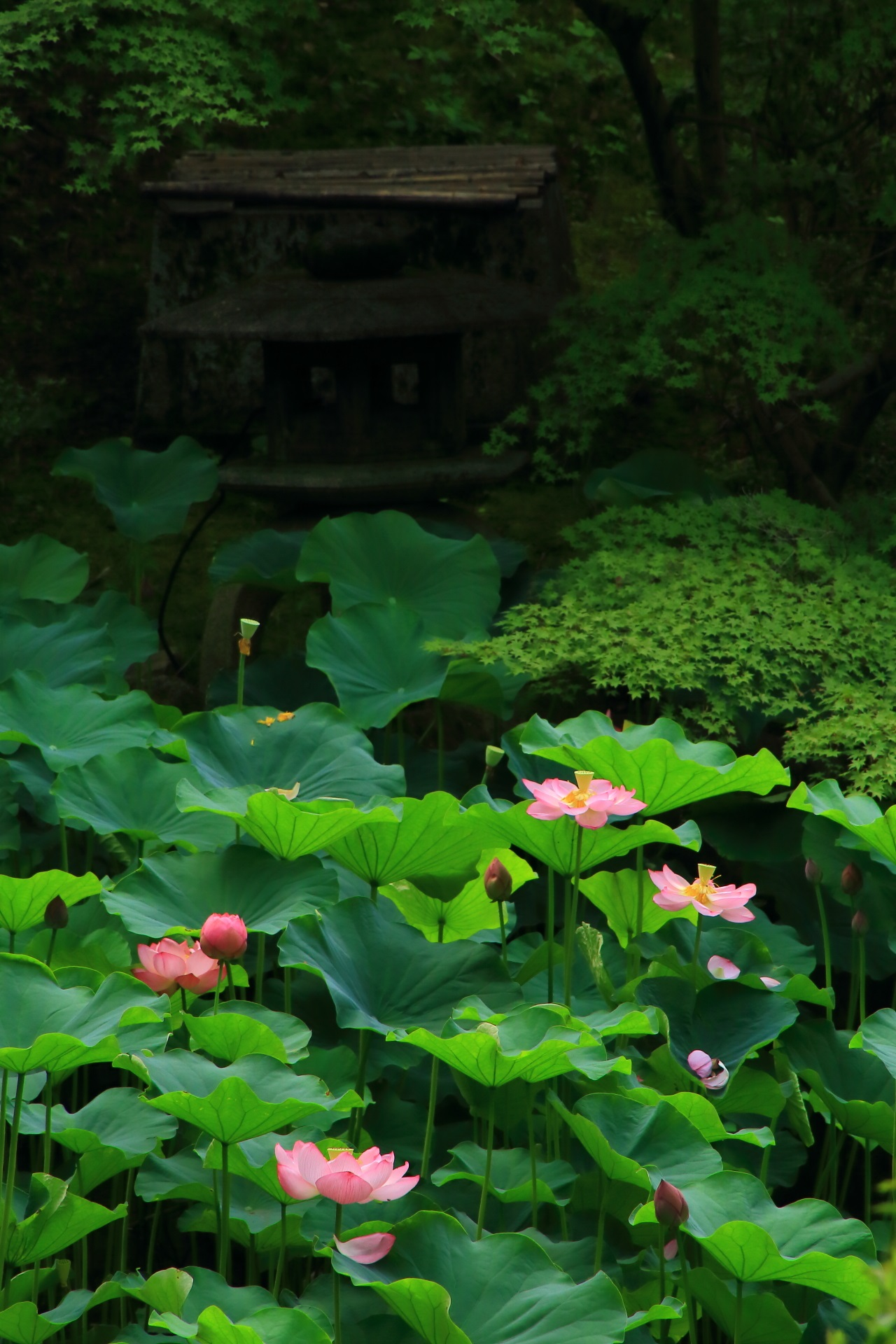 Lotus flower and blue maple of Otani-Honbyo Mausoleum in Kyoto,Japan