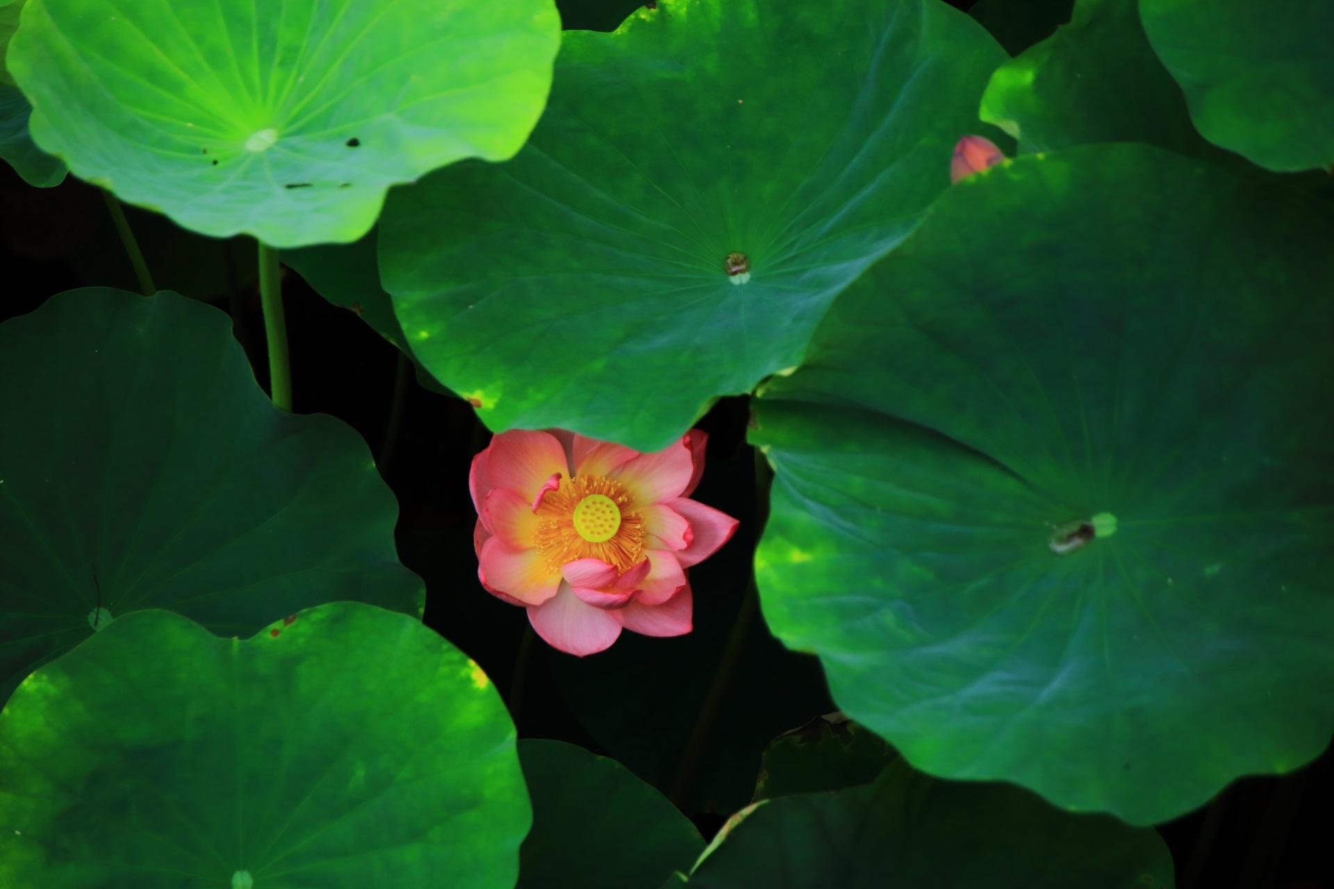 午後には花を閉じる蓮の穴場の大谷本廟