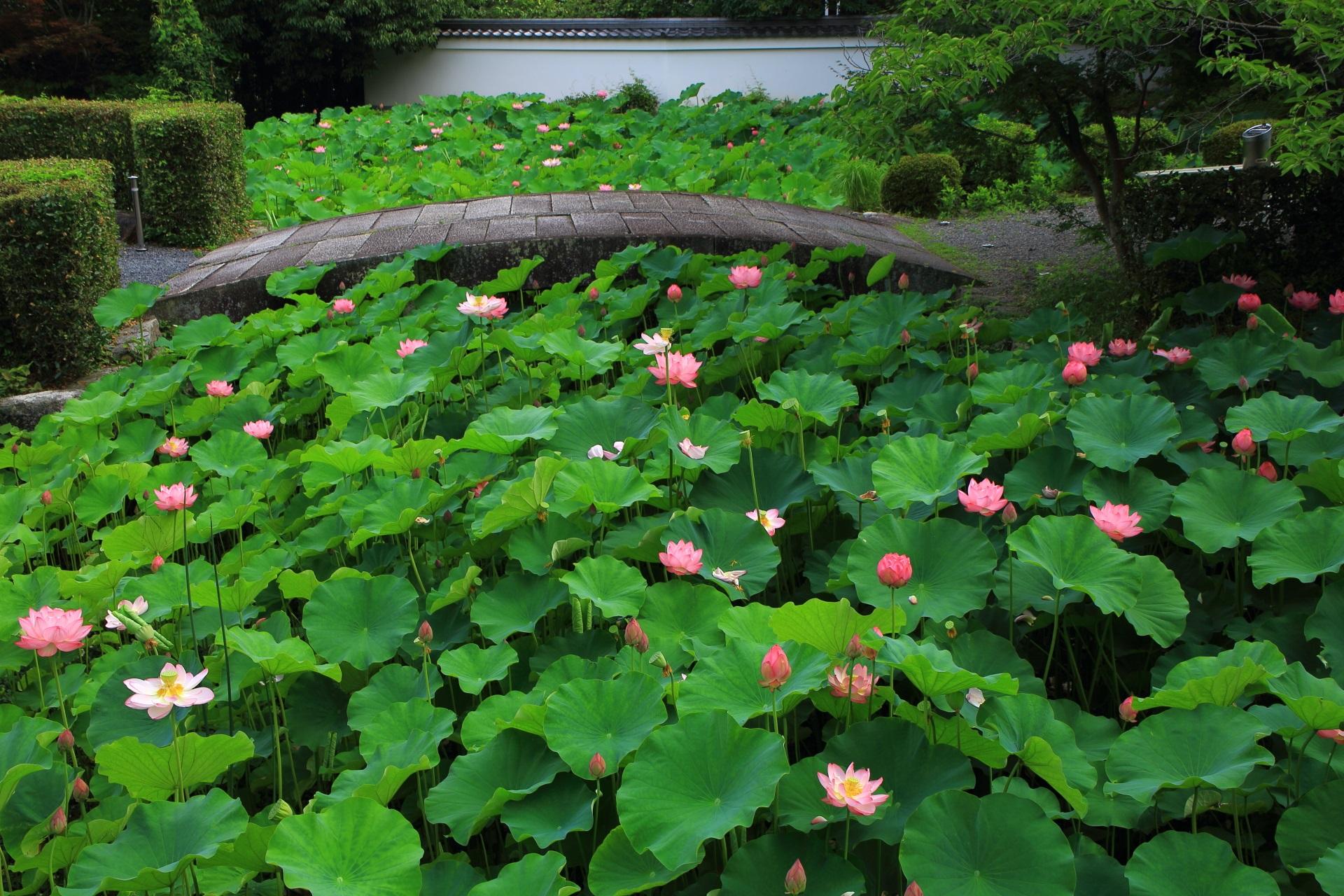 南禅寺の素晴らしい蓮の花と夏の情景