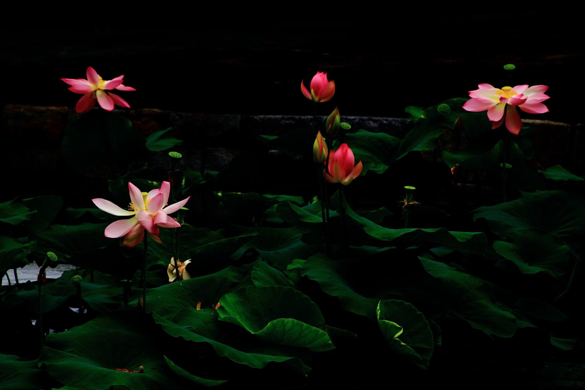 コントラスト強めの暗闇の中で光る蓮の花
