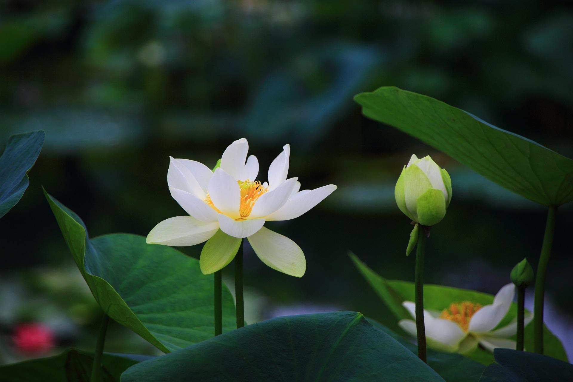 相国寺の立派に咲いているハスの花