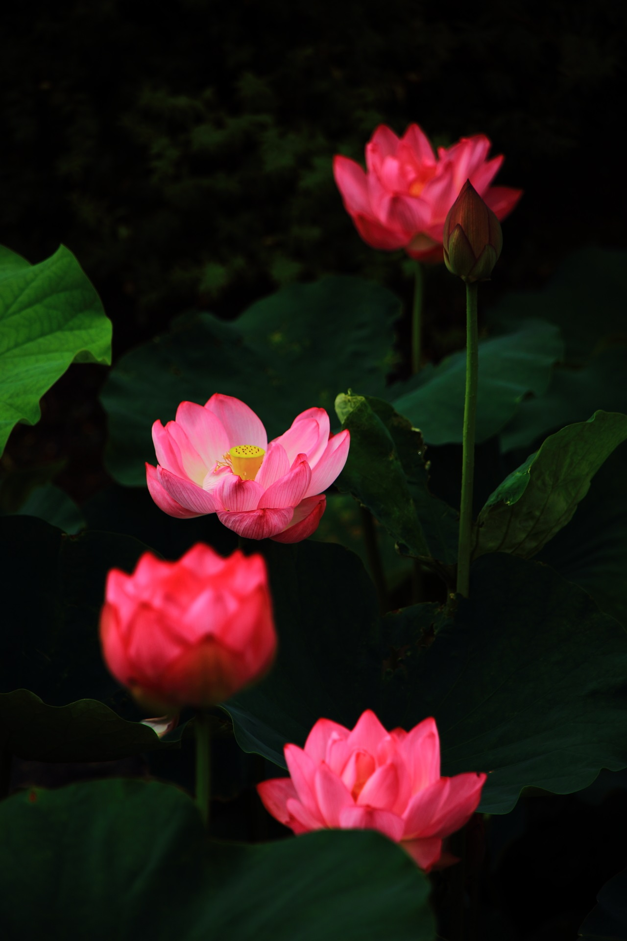 東寺のほのかに輝く幻想的な蓮の花