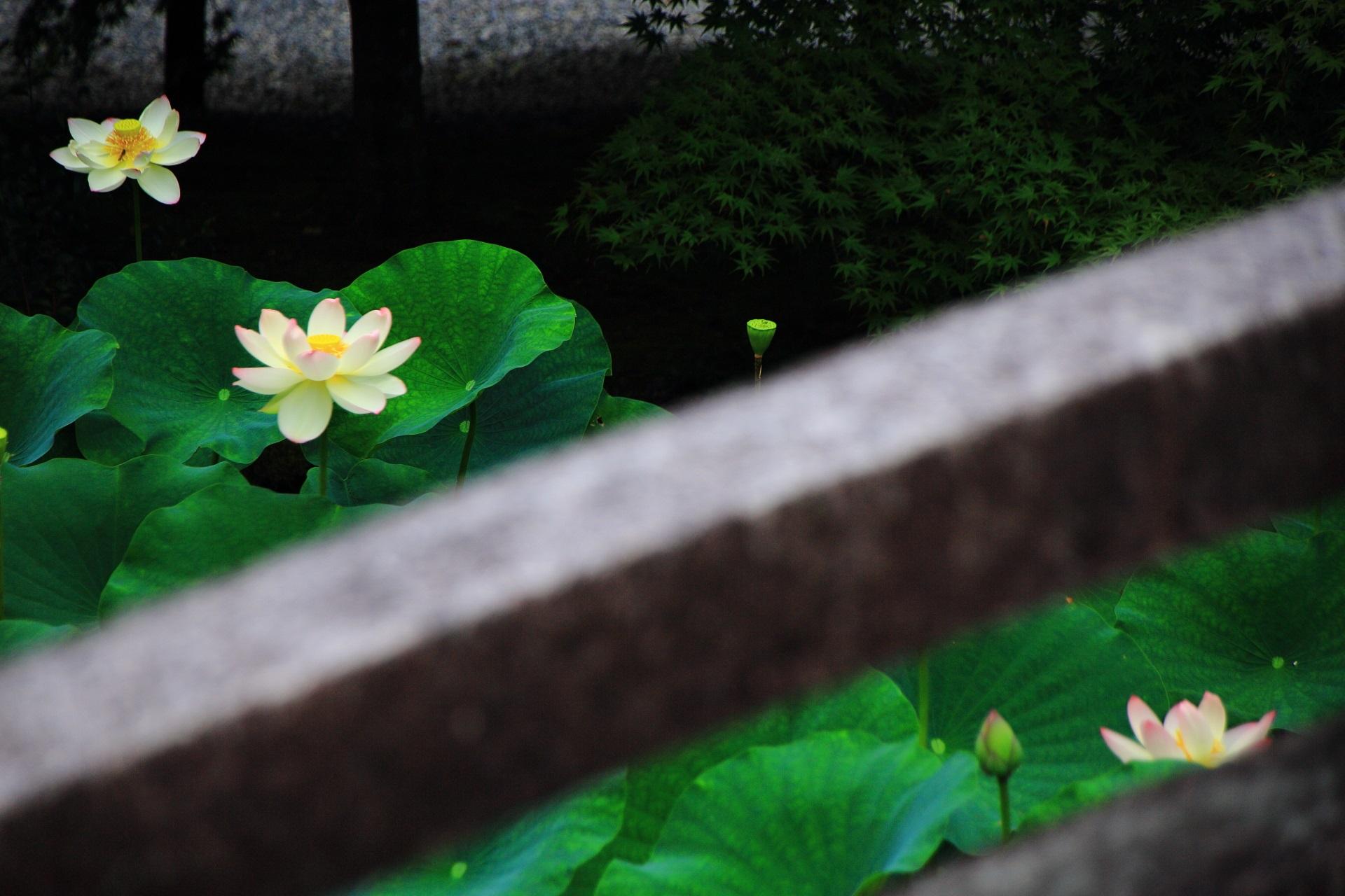 風情も感じられる知恩院の絵になる蓮の風景